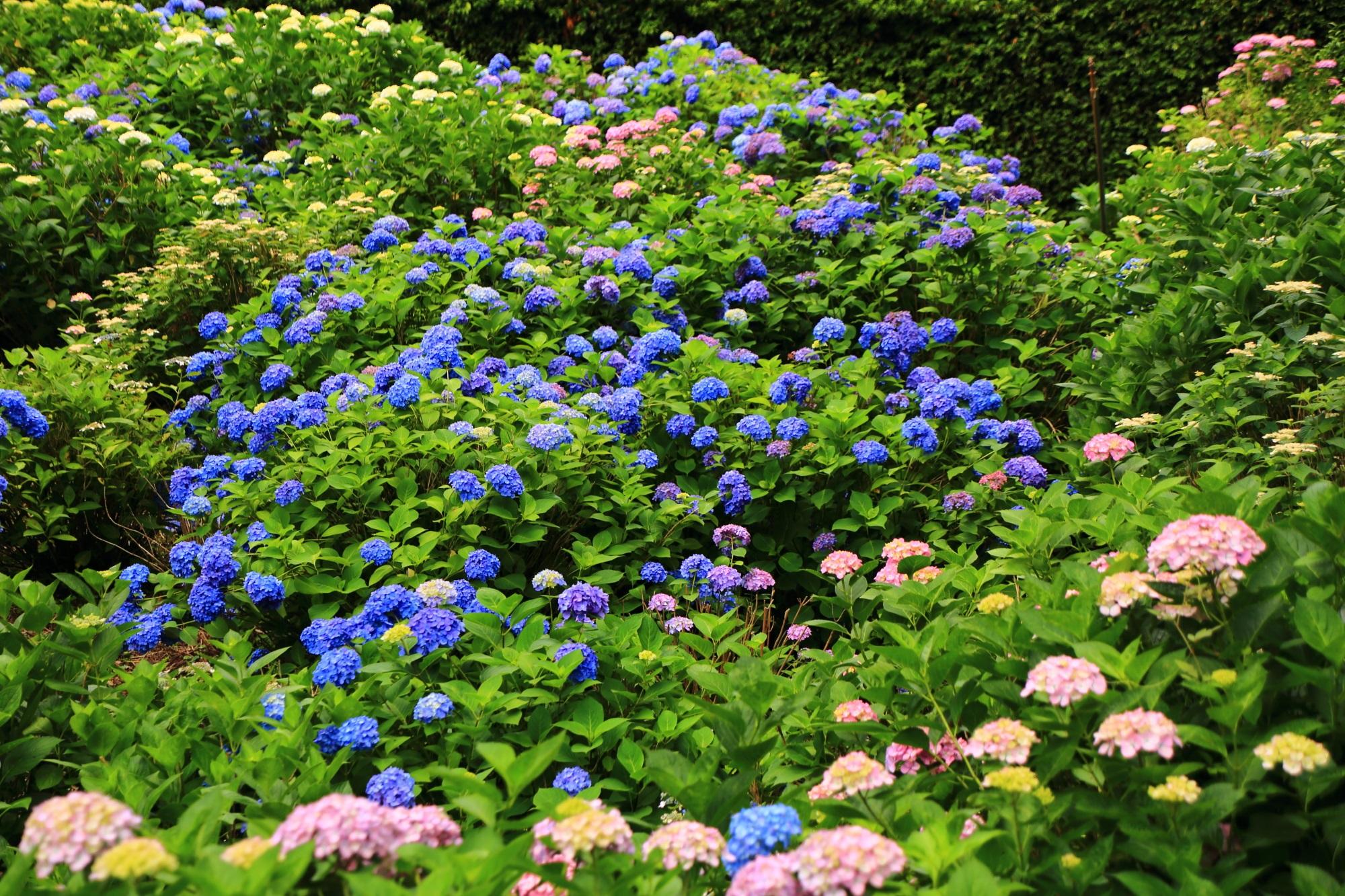 三室戸寺のあじさい園入り口付近の紫陽花