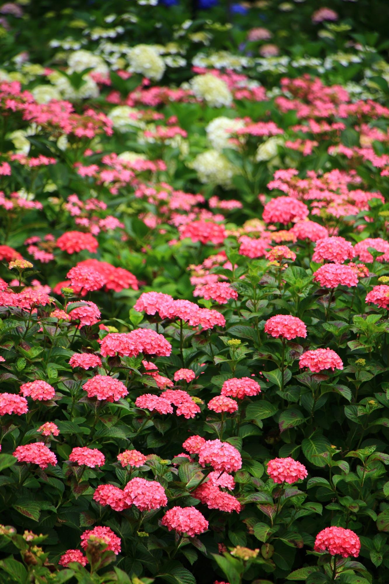 見事な京都宇治の「花の寺」と呼ばれる三室戸寺
