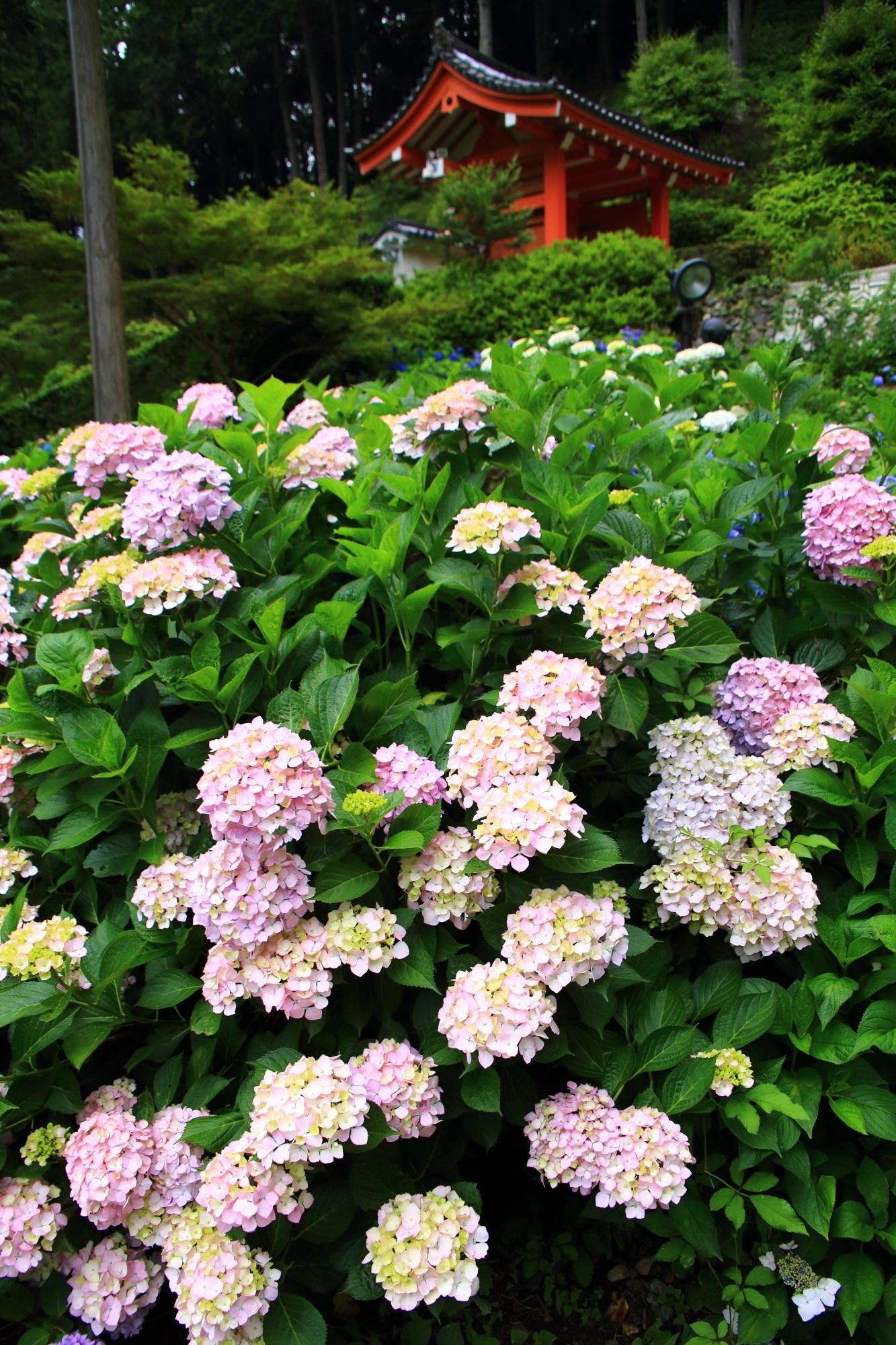初夏の三室戸寺を華やぐピンクの紫陽花