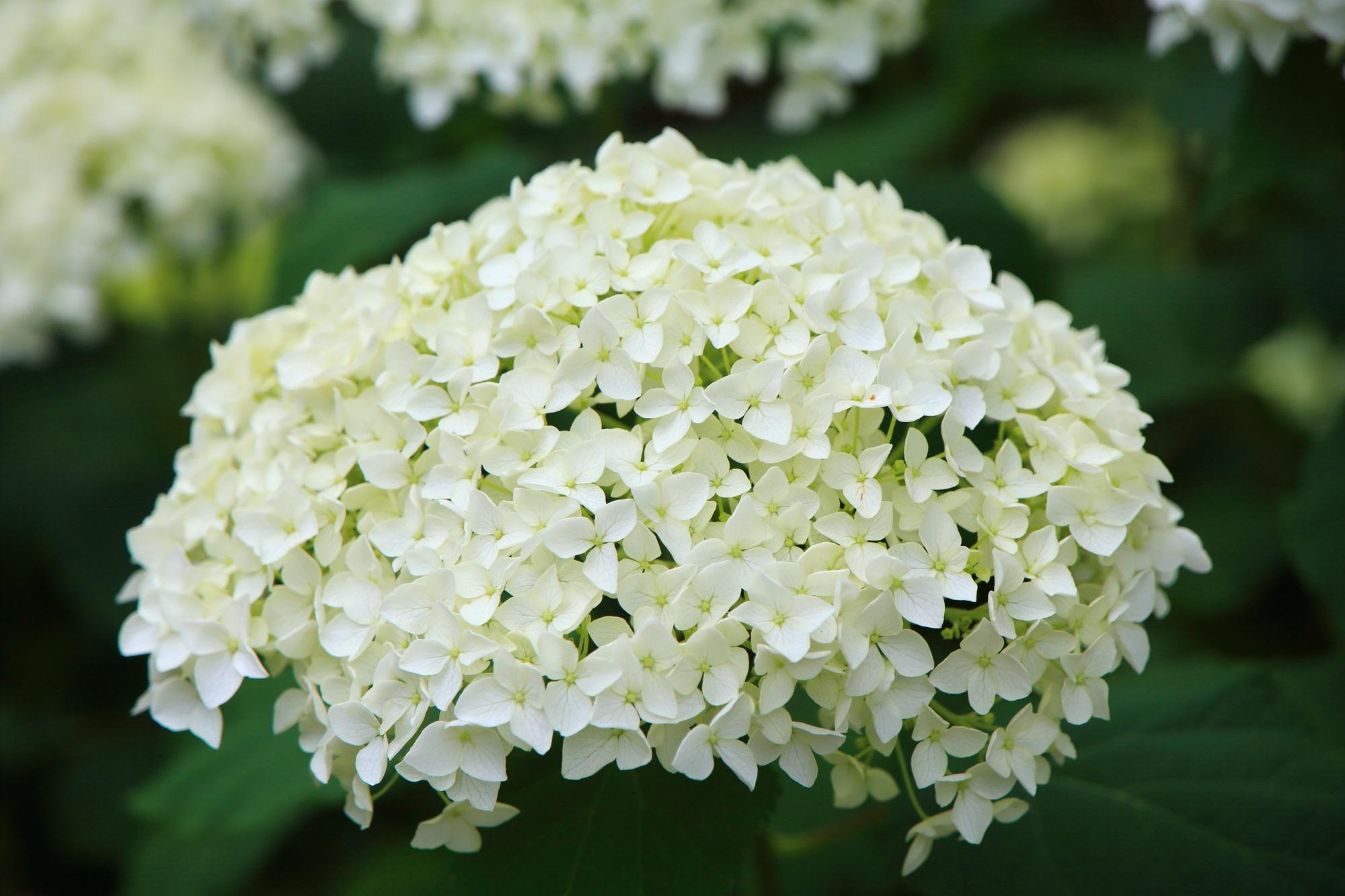 三室戸寺の枯山水庭園付近の小さな花びらの爽やかな白い紫陽花