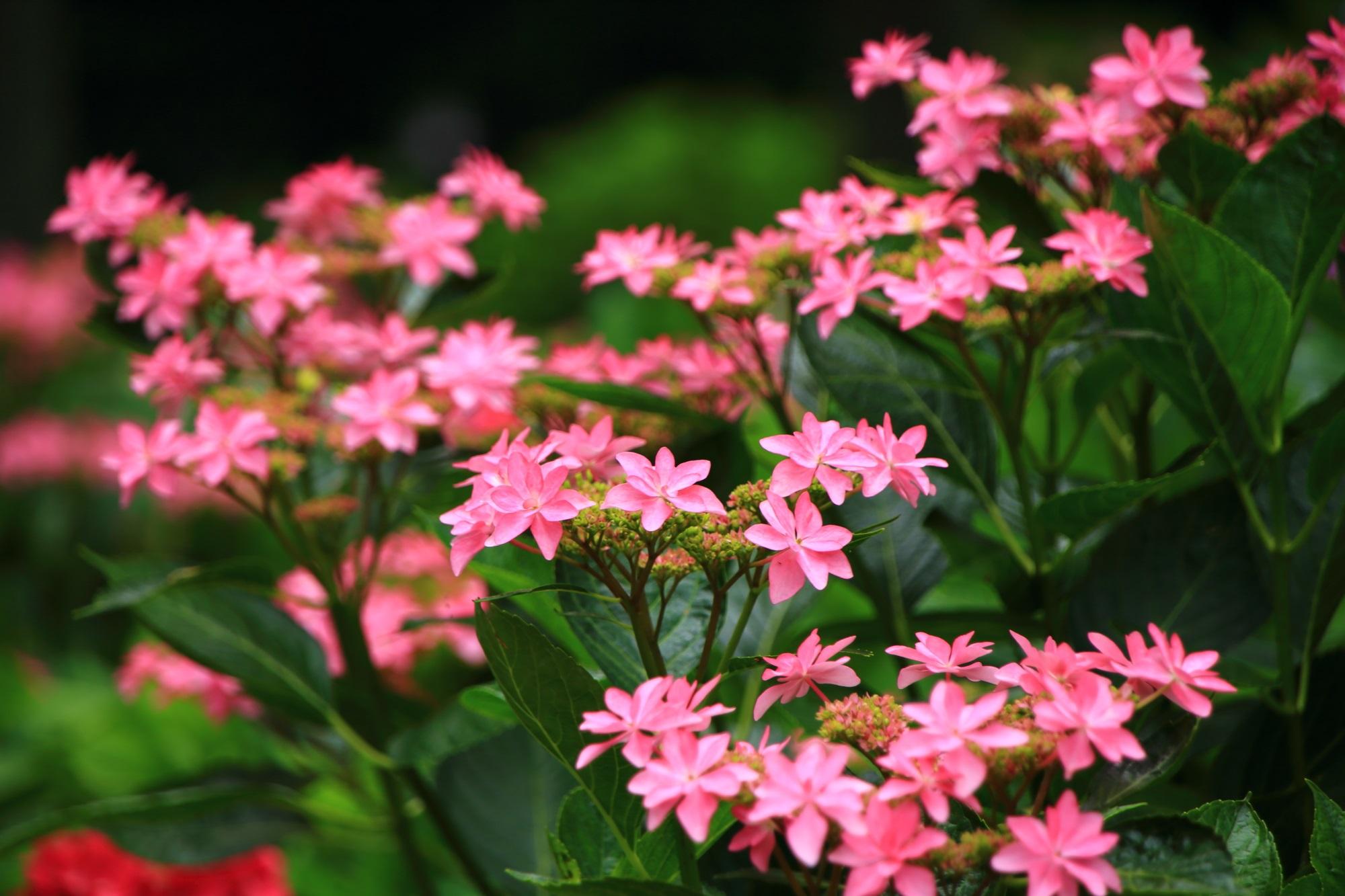 三室戸寺の賑やかに咲き誇る華やかな星紫陽花
