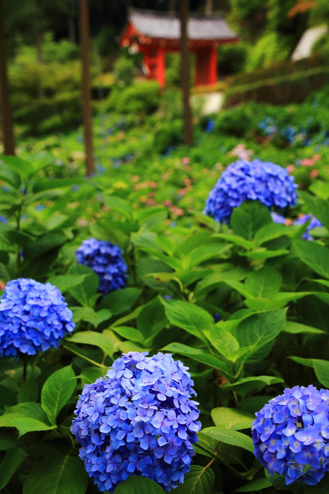 鮮やかな紫陽花に染まる三室戸寺の初夏のあじさい園と朱色の山門