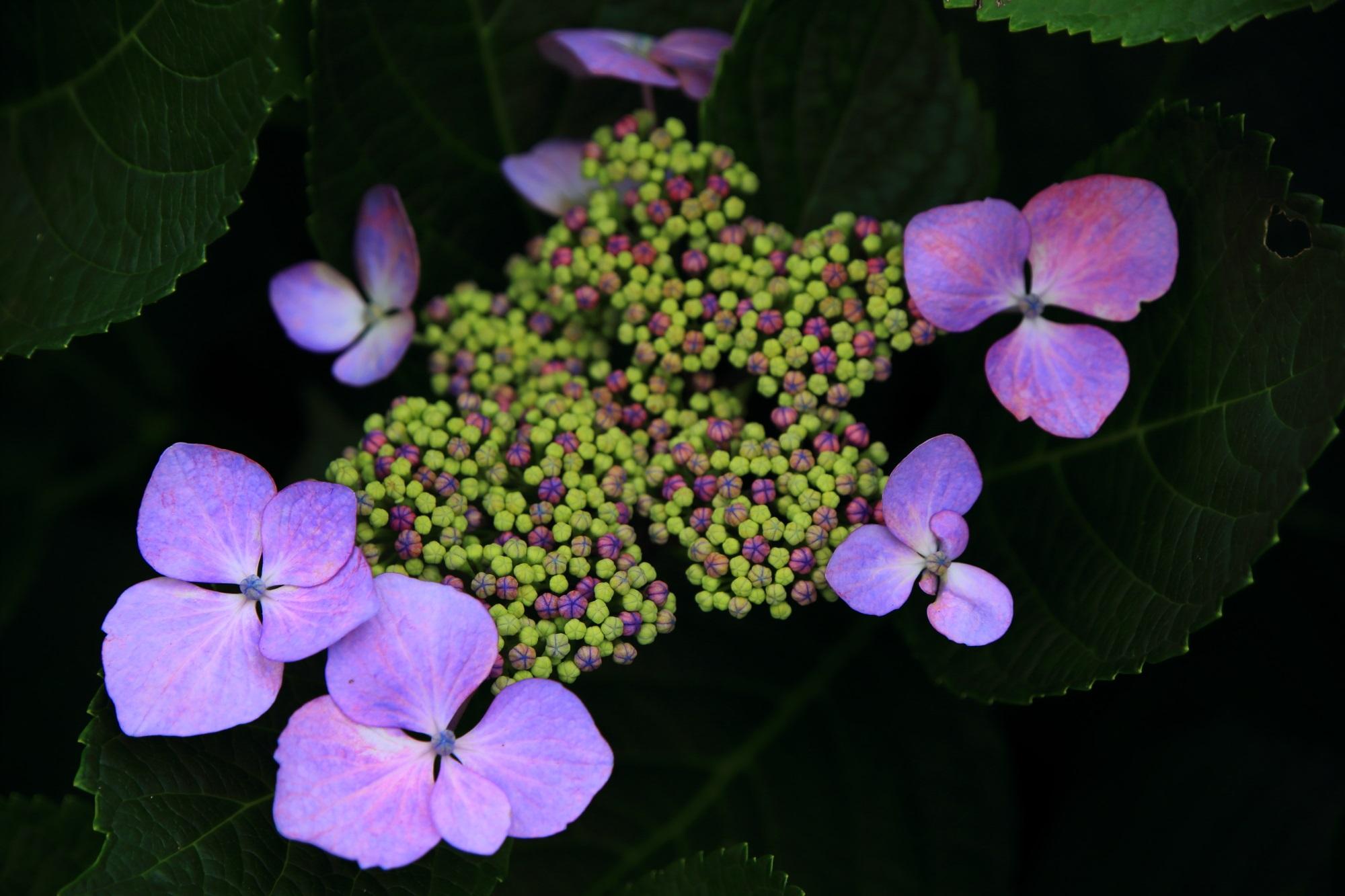 紫の花びらをいっぱいに広げる三室戸寺の額紫陽花
