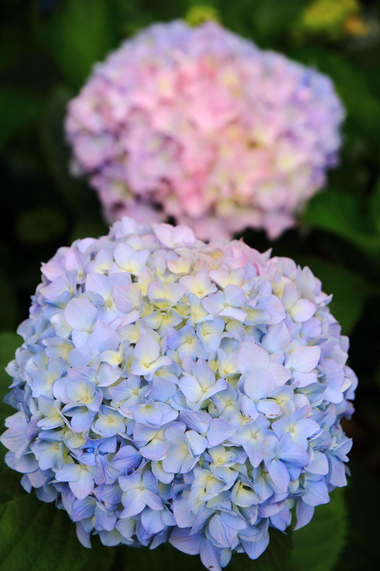 三室戸寺の薄い水色の極上の紫陽花