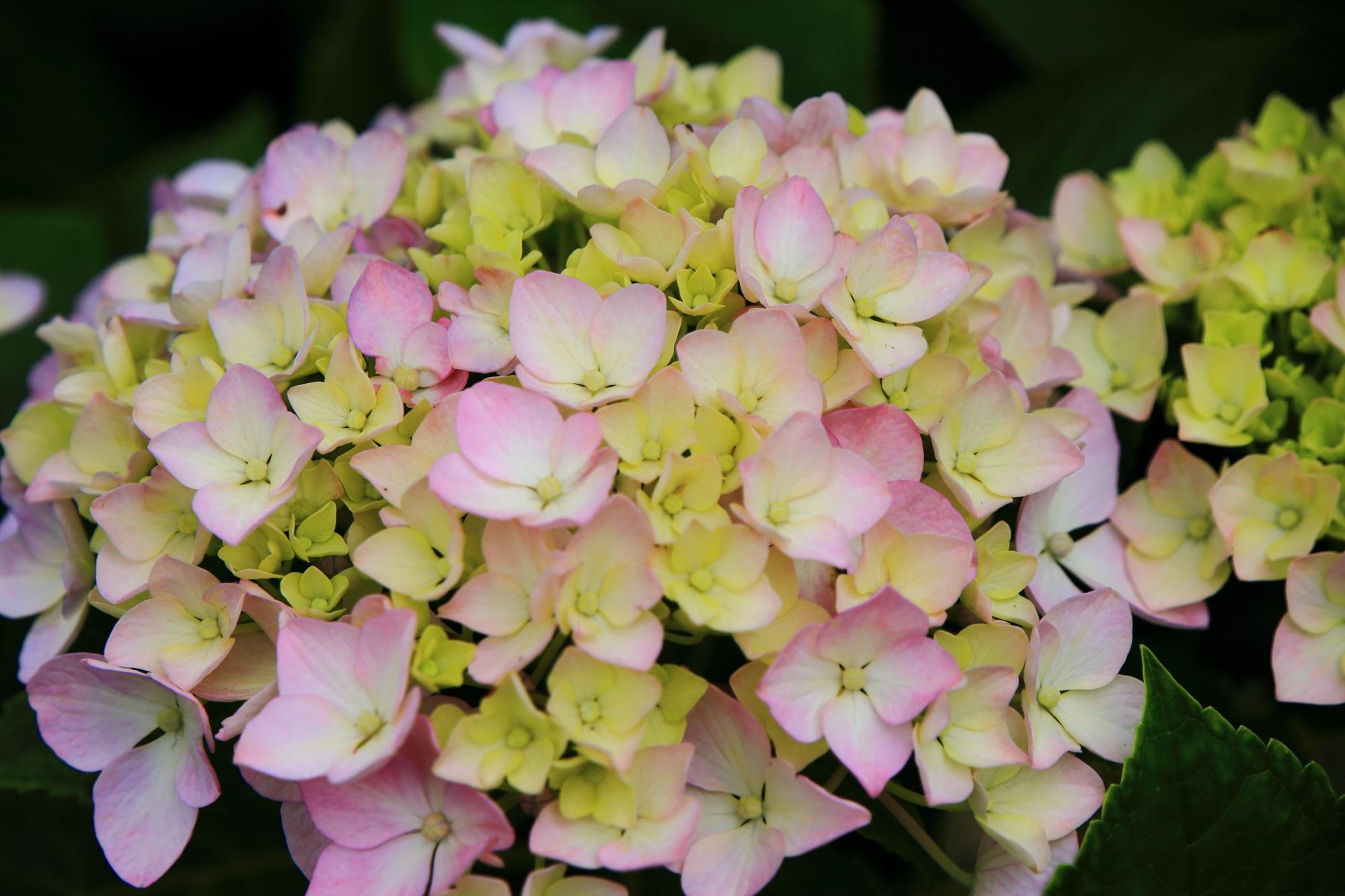 三室戸寺の不思議な色合いの紫陽花