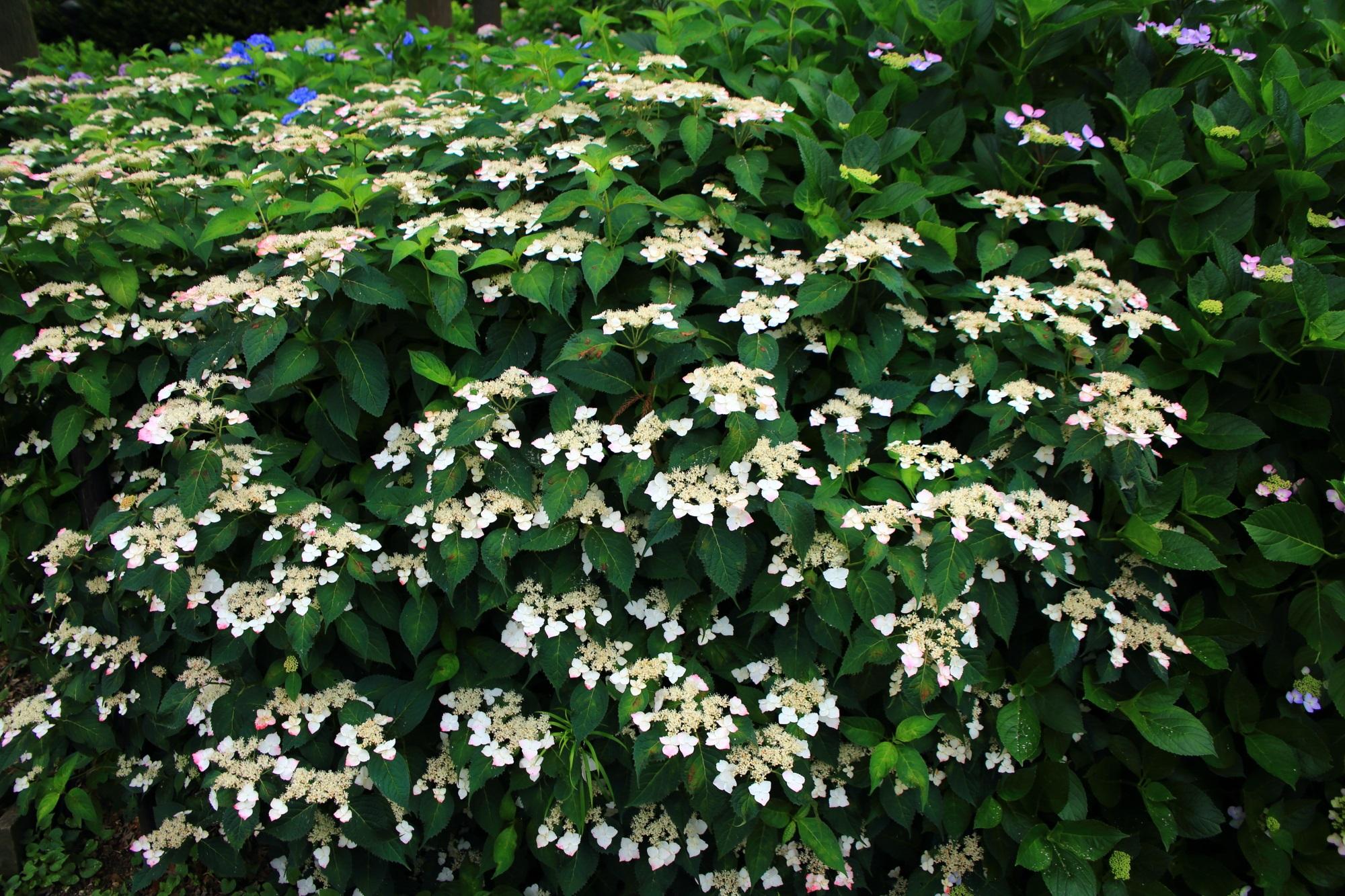 初夏の緑を華やぐ賑やかな白い額紫陽花
