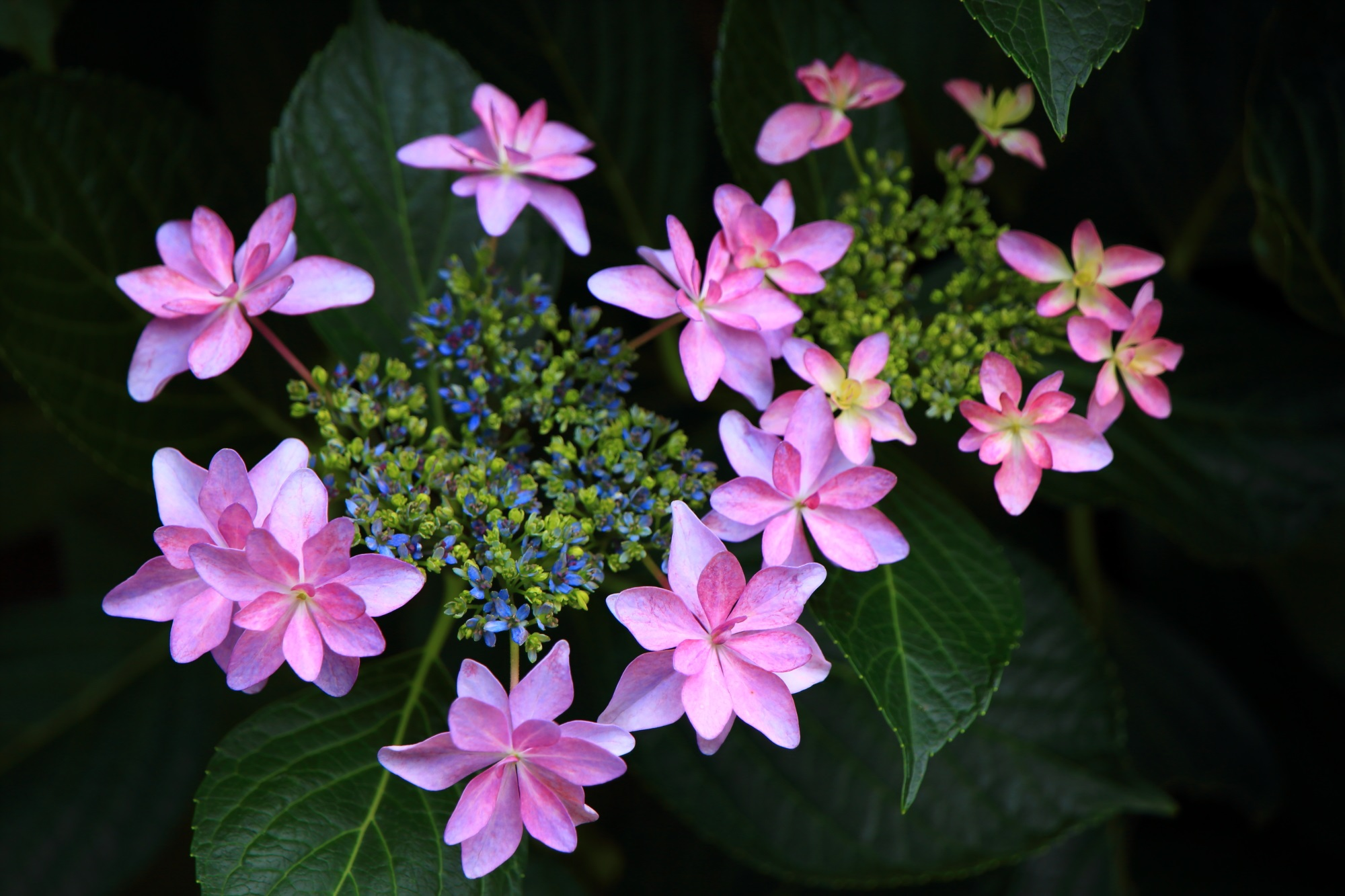 三室戸寺の風情と華やかさの感じられる星紫陽花(ホシアジサイ)