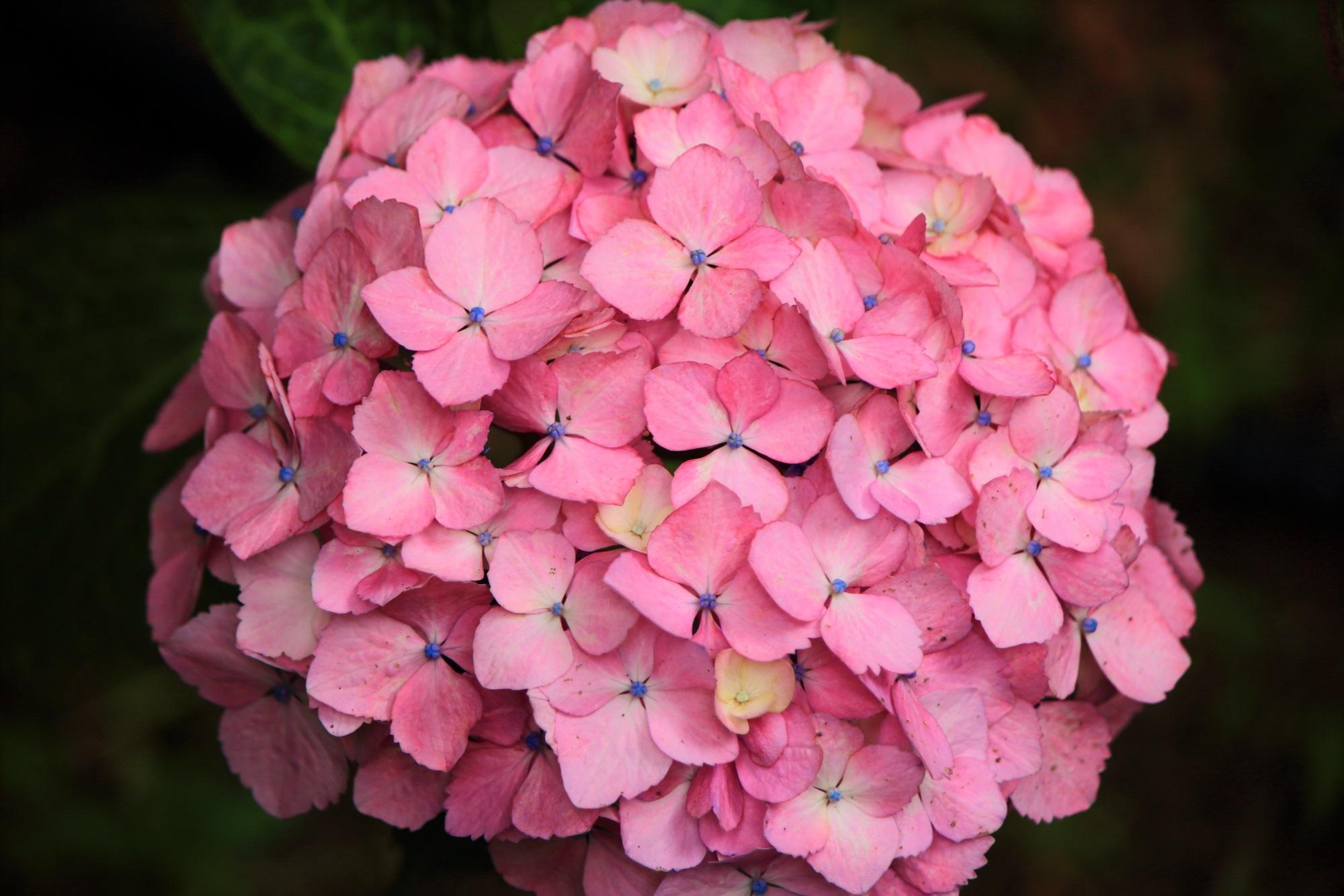 三室戸寺の優雅に咲く上品なピンクの紫陽花