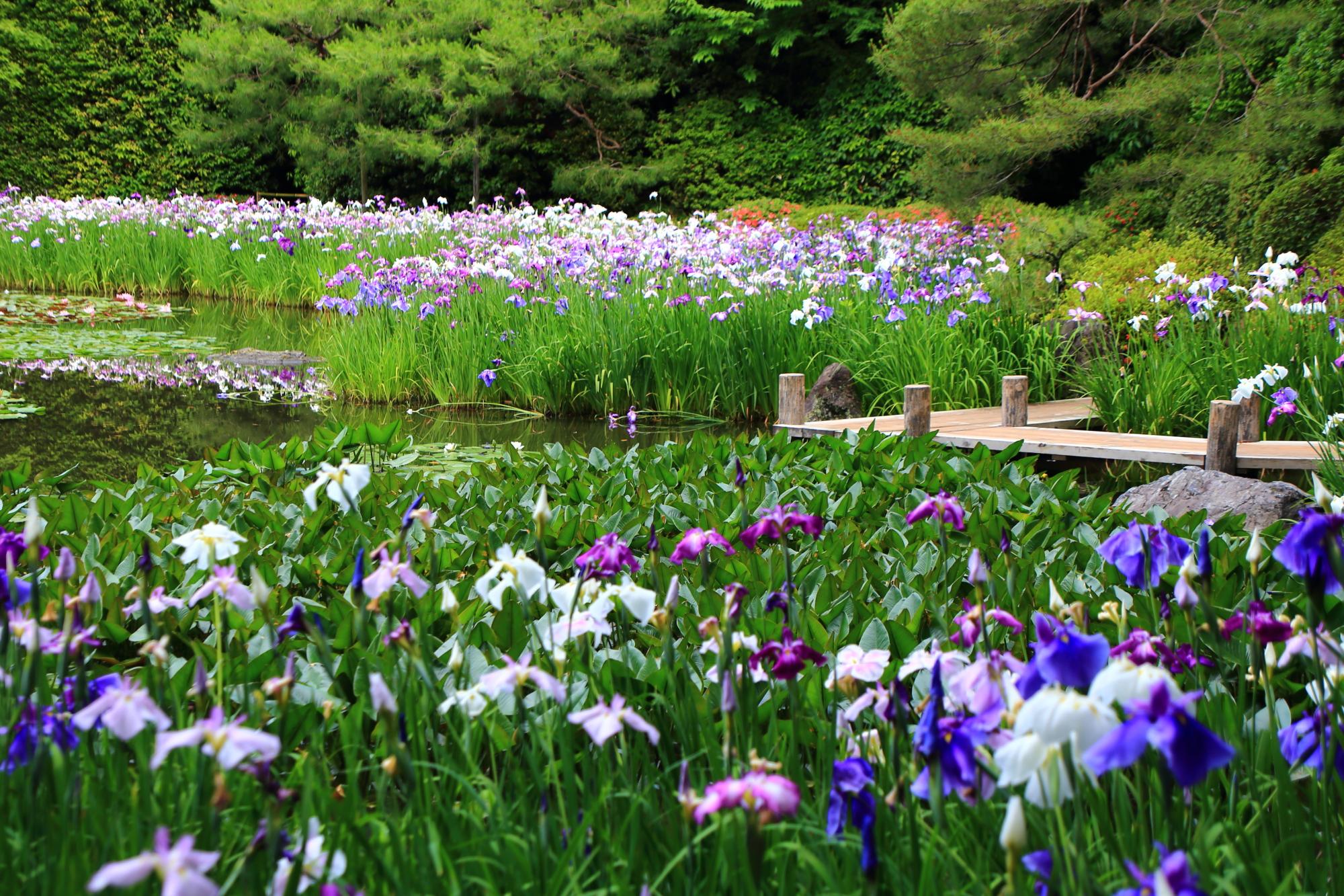 平安神宮 花菖蒲 水辺を華やぐ上品な初夏の彩り