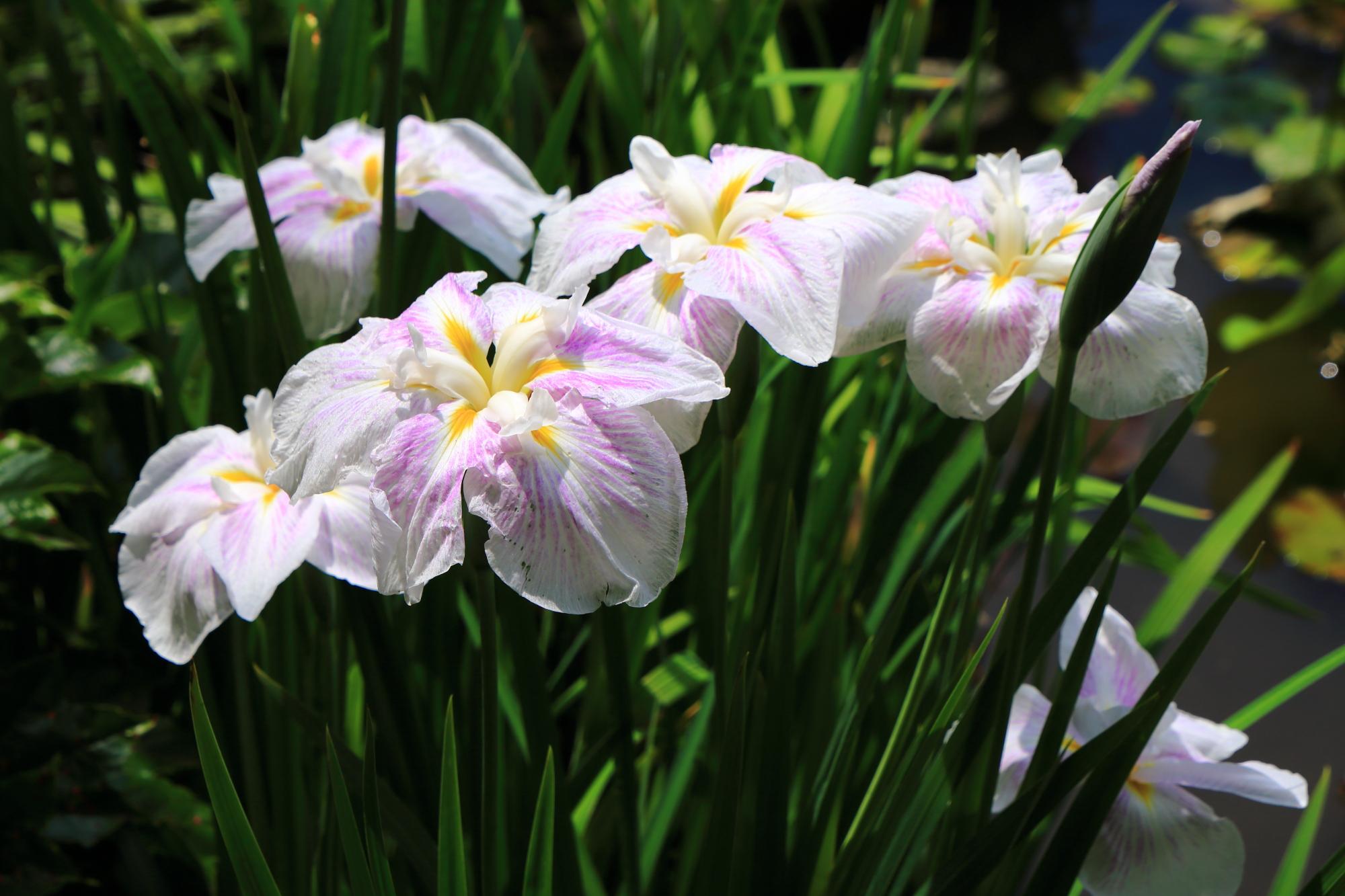 勧修寺 花菖蒲・睡蓮 初夏の水辺の華やかな彩り