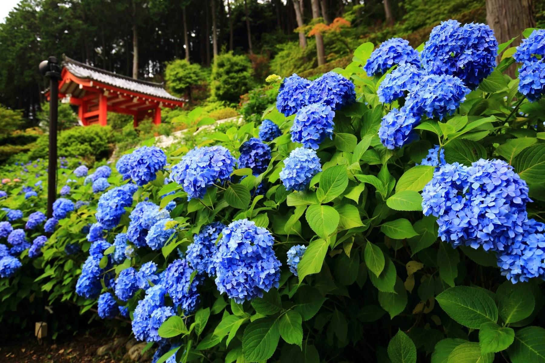 京都宇治三室戸寺のあじさい園の満開の紫陽花と山門 2015年6月11日