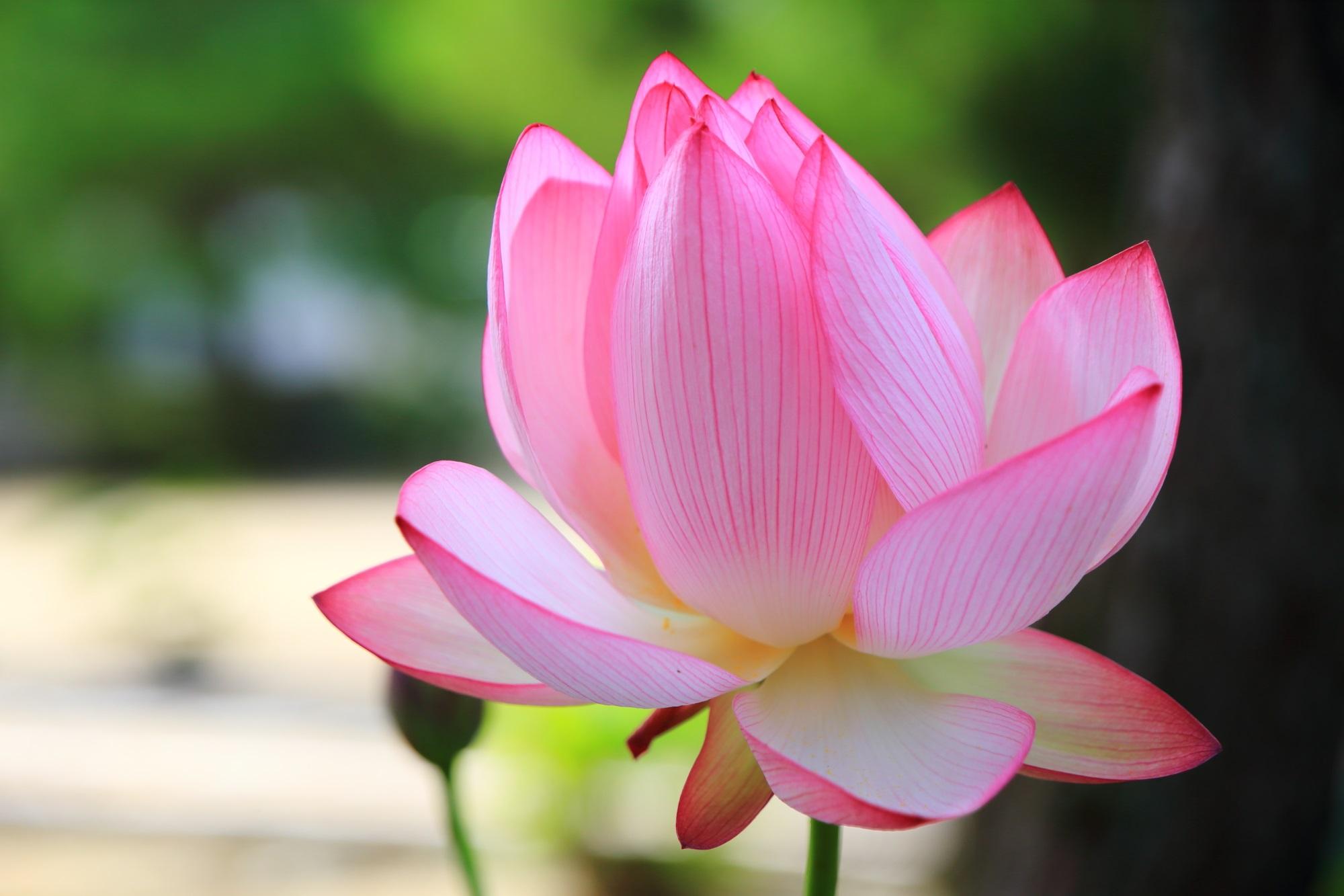 萬福寺の可愛いピンク色をした上品な蓮の花