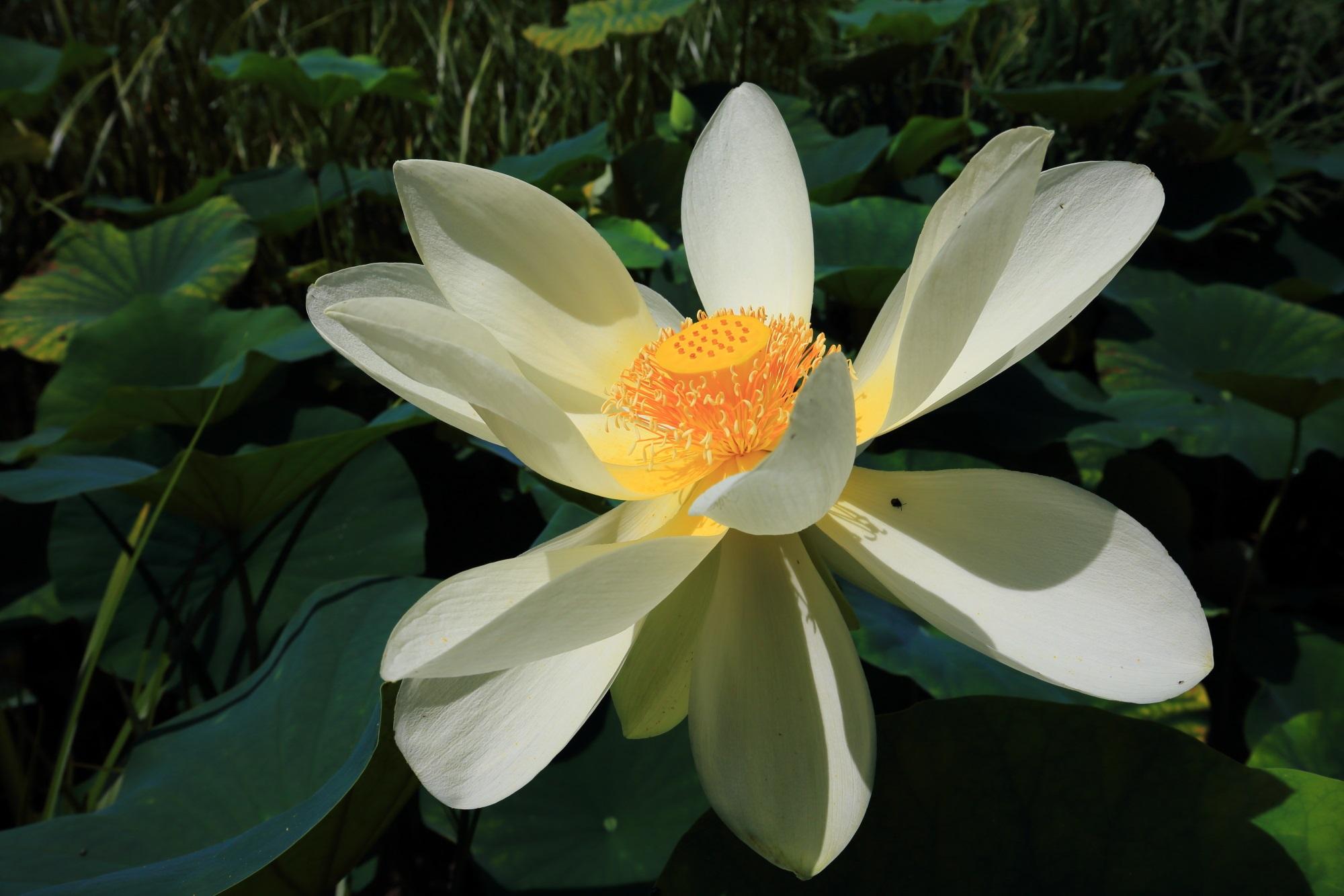 萬福寺の中和園に咲く華やかな白い大輪の蓮の花