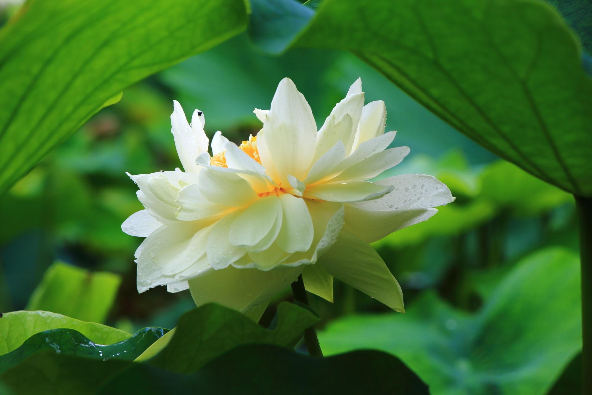 三室戸寺の緑につつまれた爽やかな真っ白の蓮の花