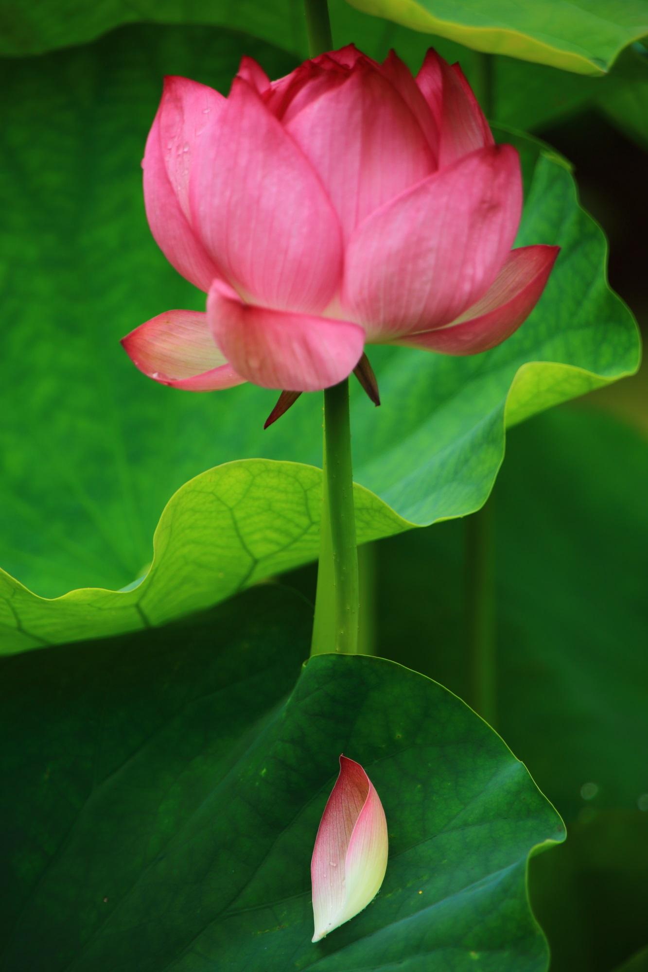 華やかな三室戸寺の咲いているハスの花と散った花びら