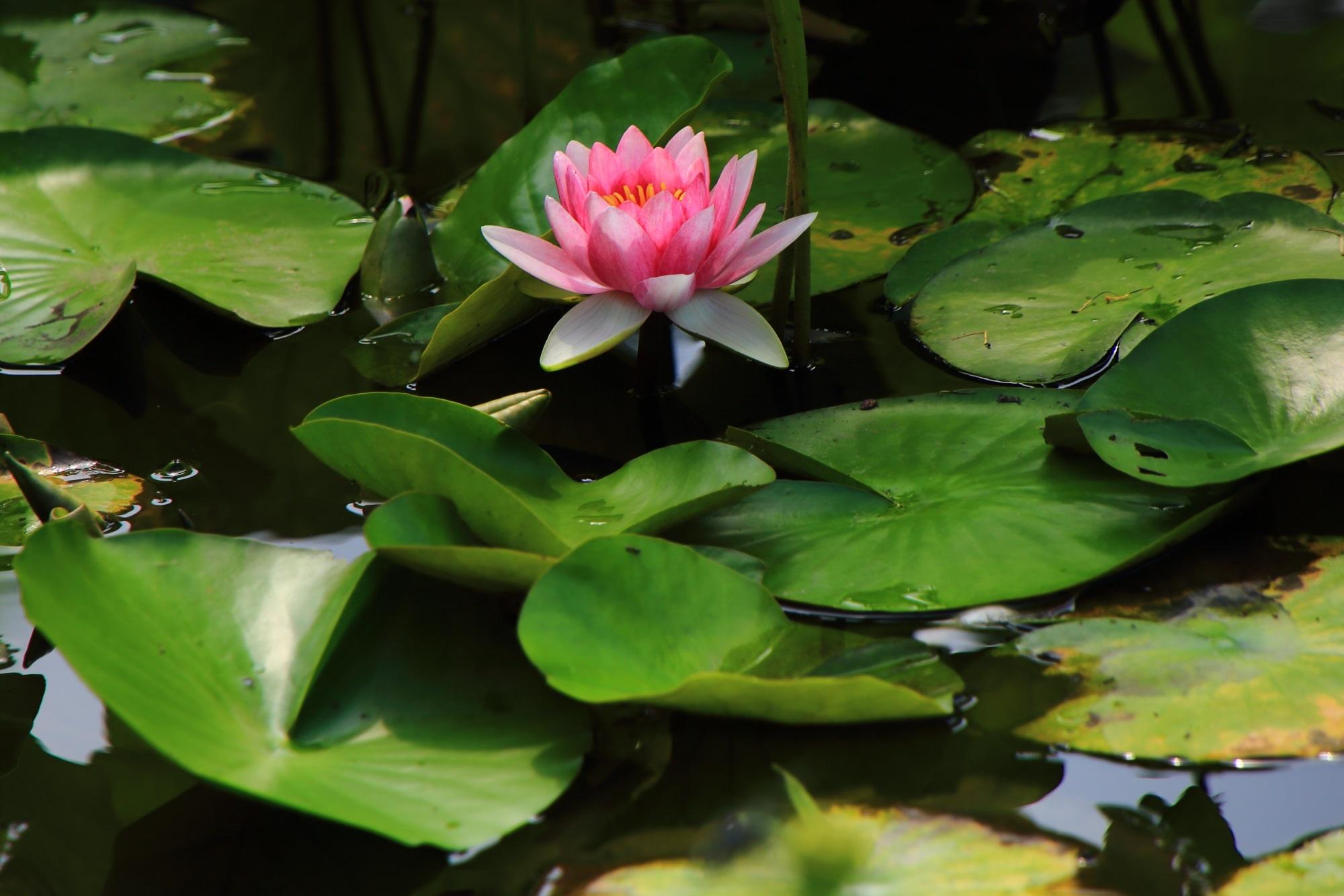 水面より少し高い位置で咲く勧修寺のピンクの睡蓮
