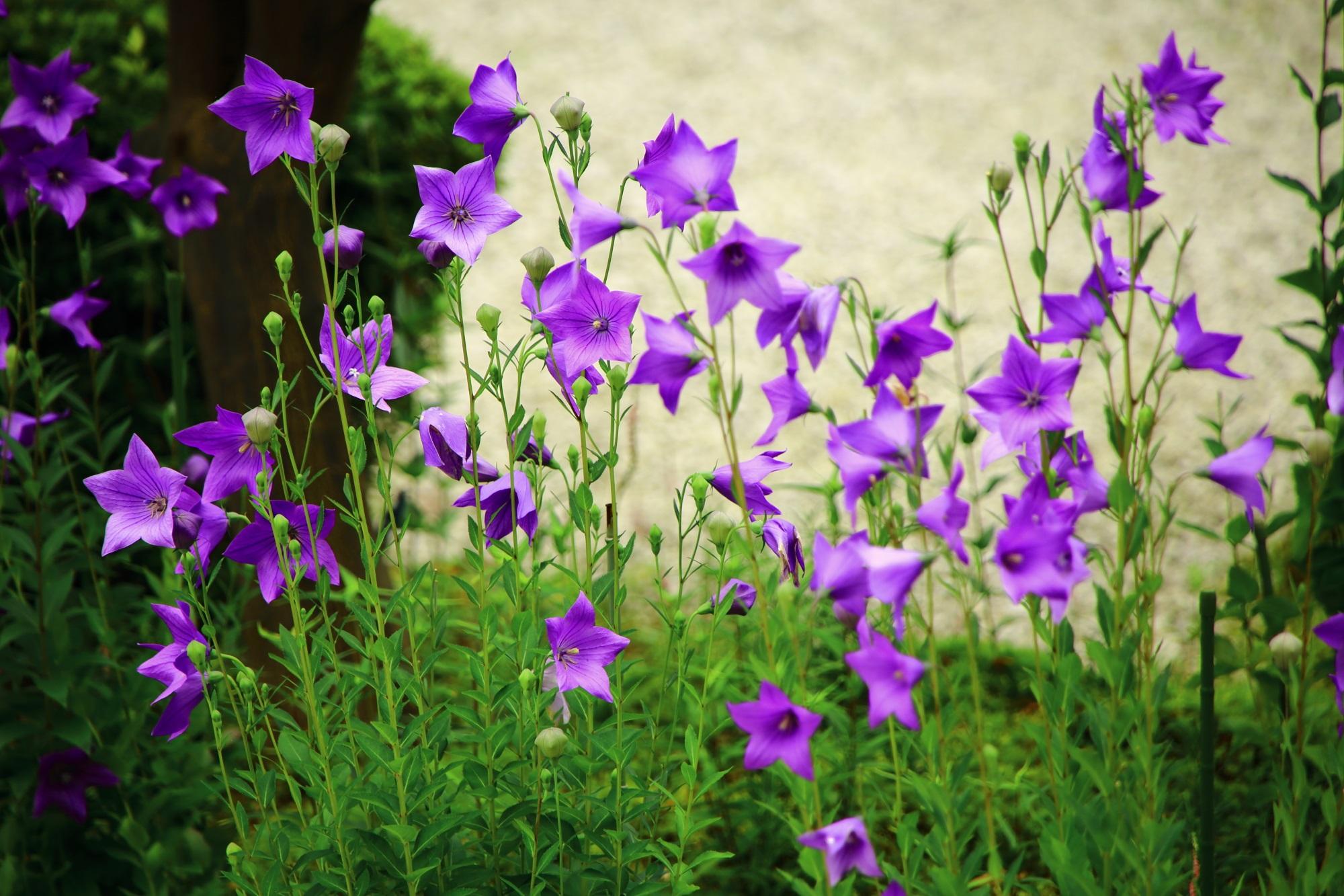 廬山寺のキキョウの妖艶で幻想的な紫の彩り