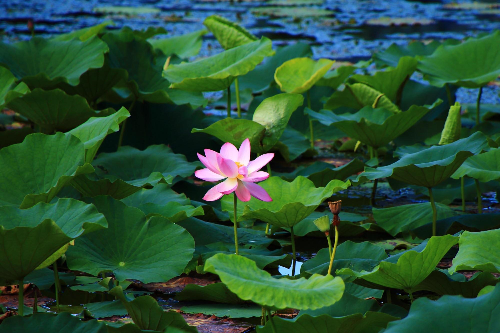 大覚寺の優雅に咲き誇る一輪の蓮の花