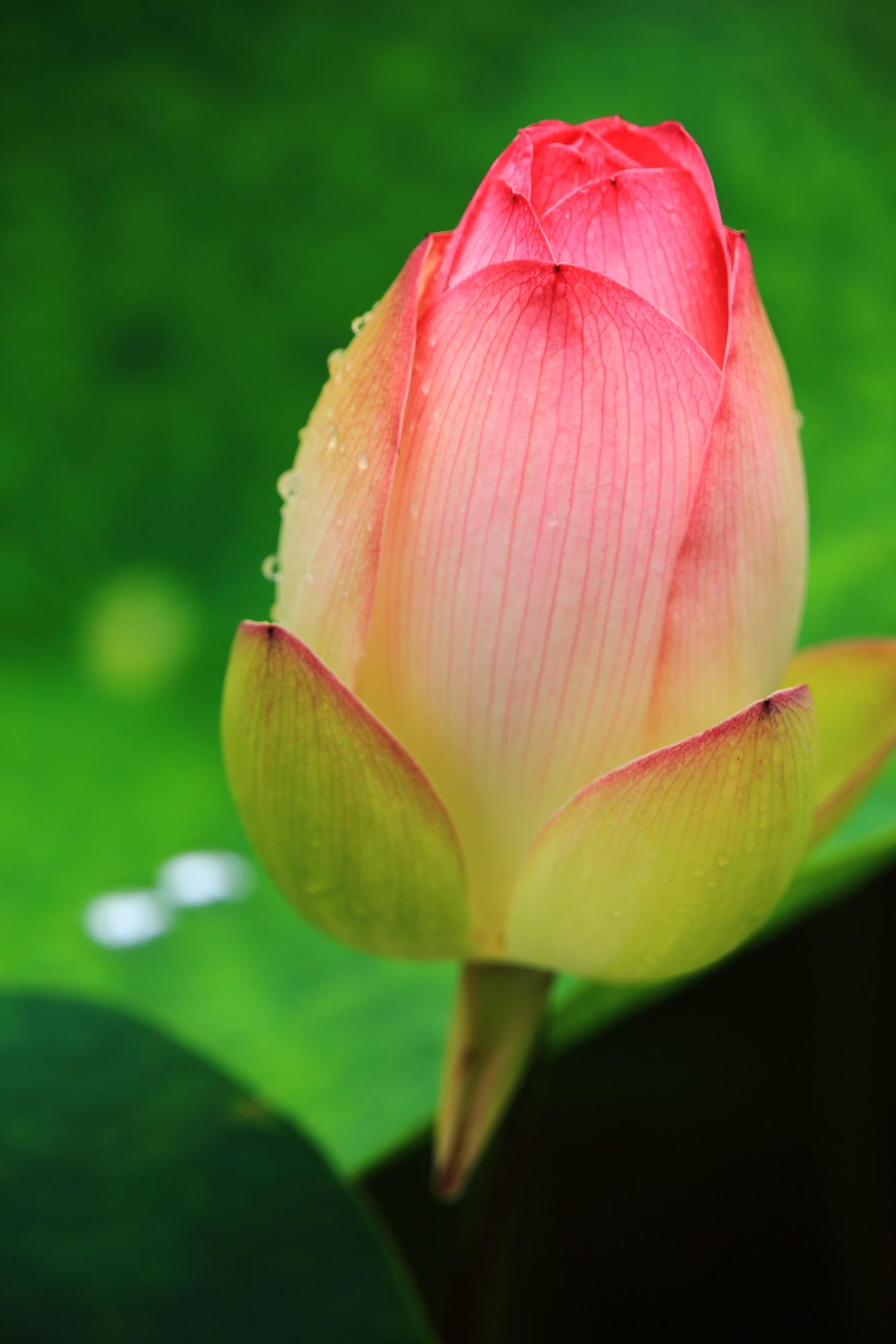 花びら一枚一枚は非常に繊細で可憐な蓮の花