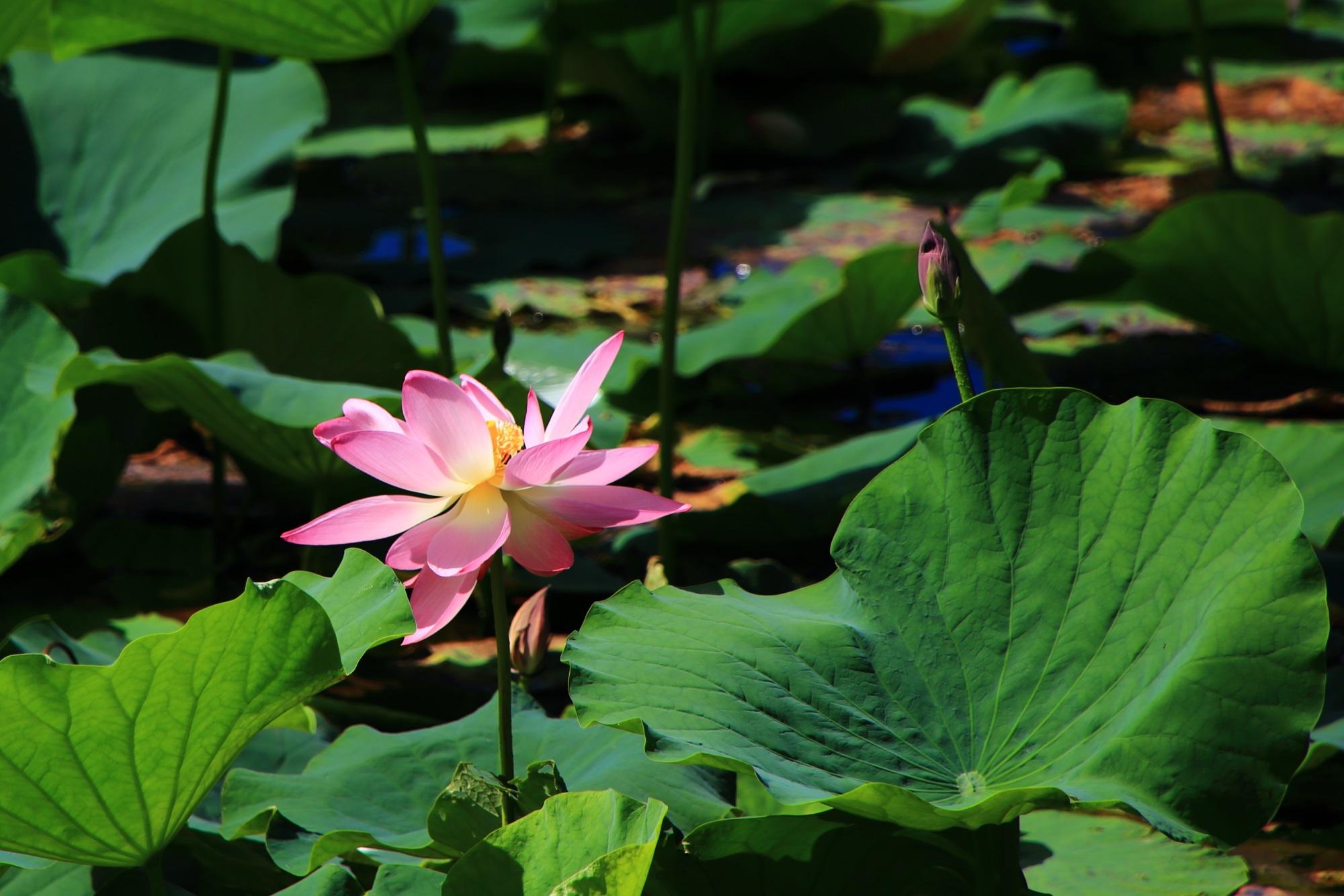 タイミングや時期が難しい大覚寺の大沢池のはすの花