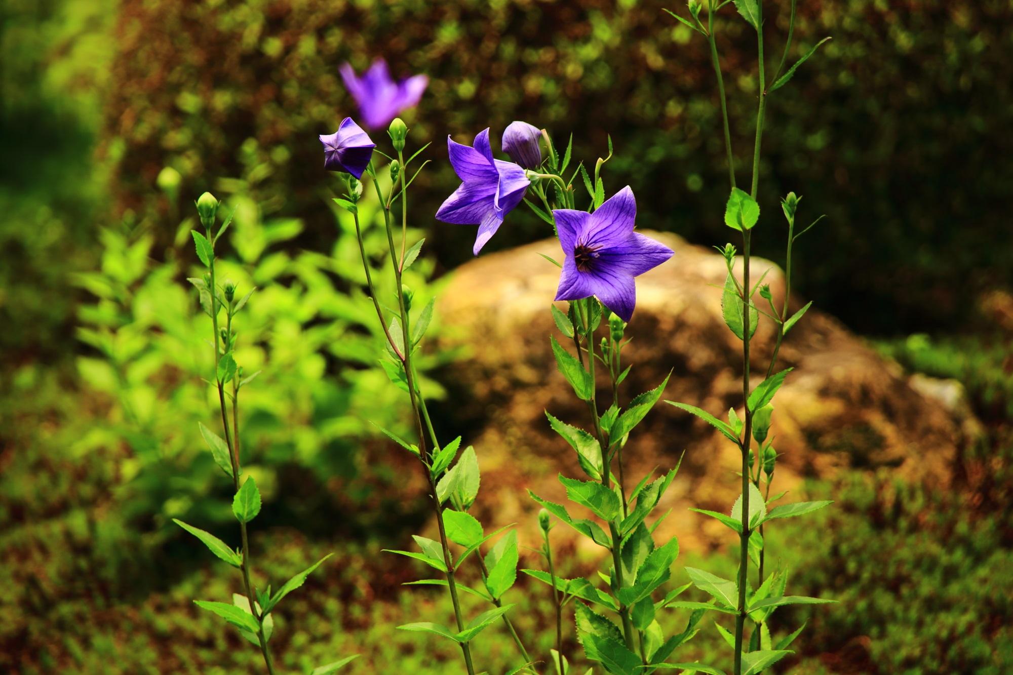 天得院の妖艶な紫色をしたキキョウの花