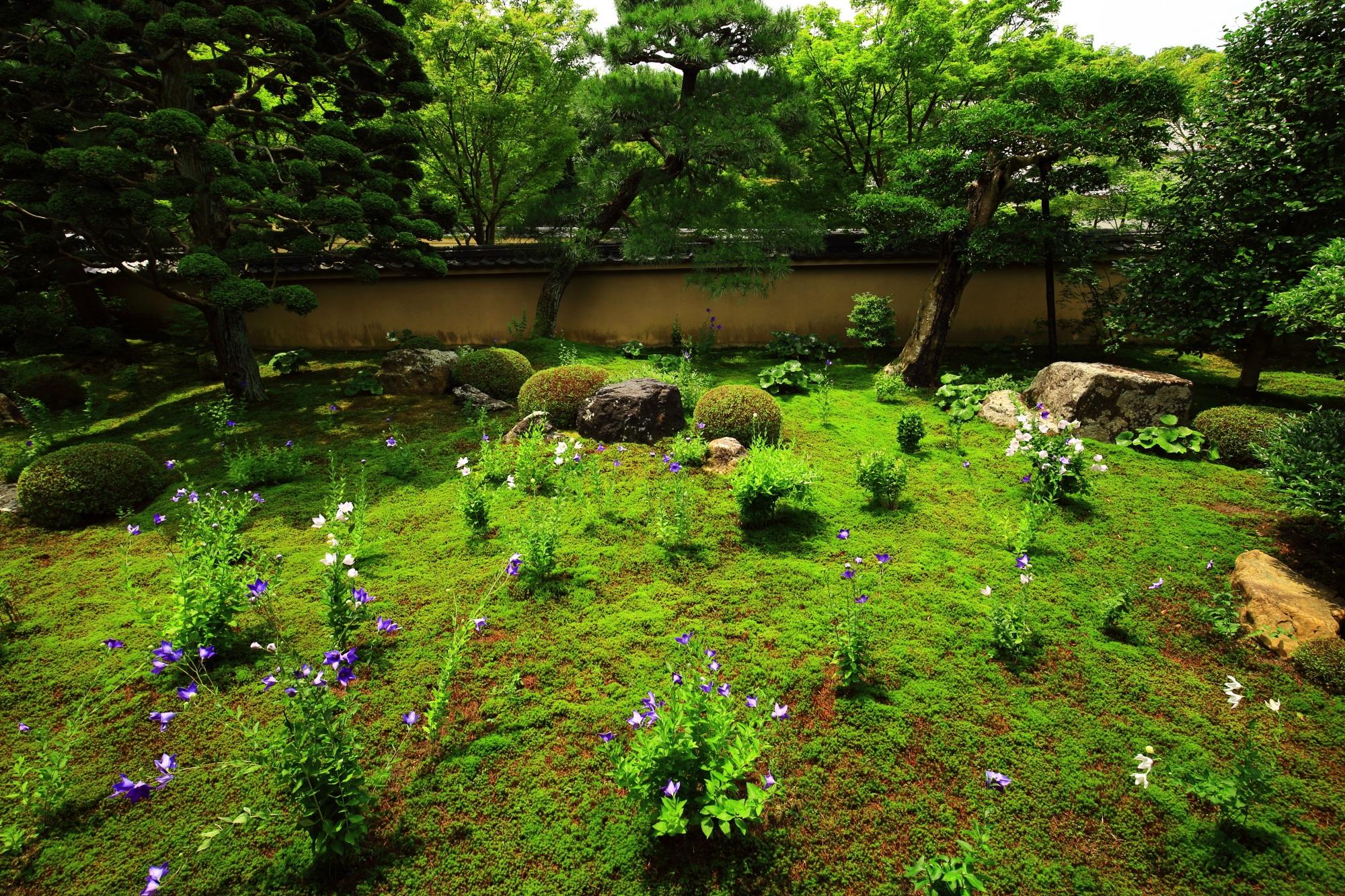 天得院の鮮やかな緑の苔の上で華やぐ桔梗