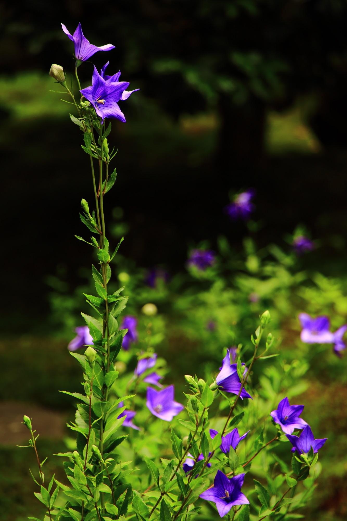 東福寺塔頭天得院の太陽を浴びて煌く紫の桔梗の花