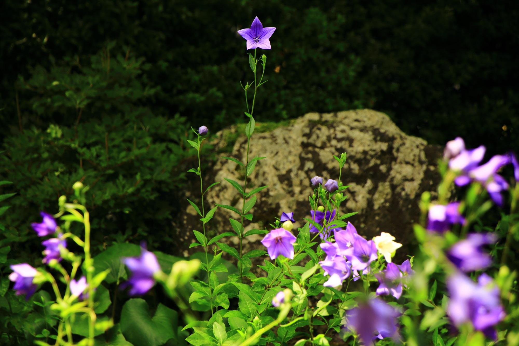天得院のこっちを見ているような満開の桔梗の花