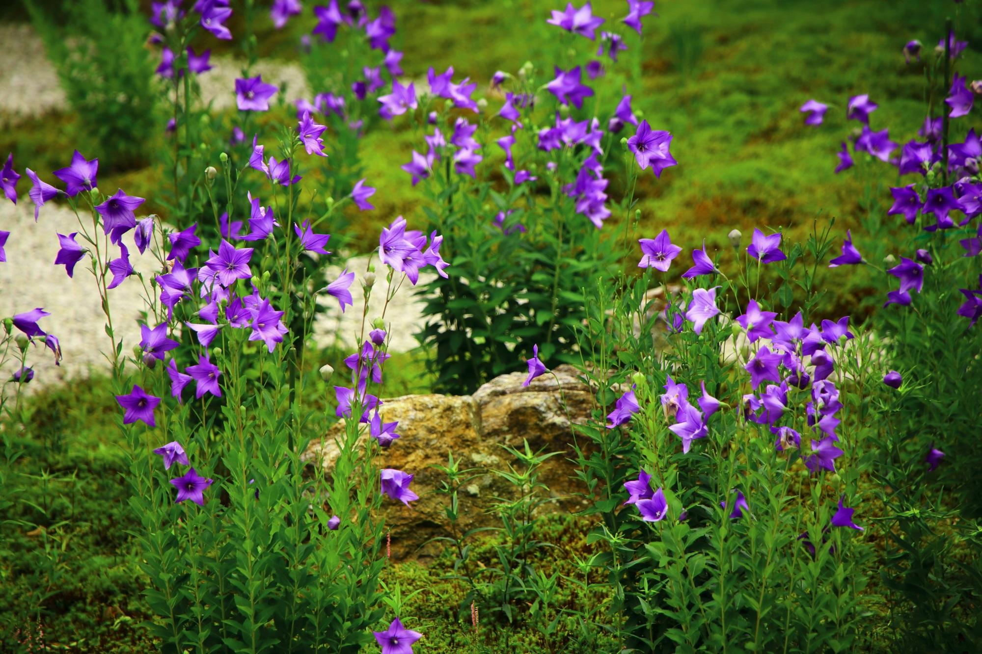 たくさんの桔梗の花につつまれる7月の廬山寺