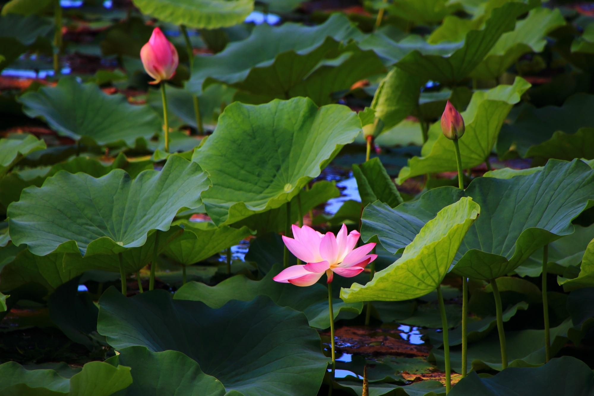 大覚寺の大沢池の深い緑の中で華やぐピンクの蓮の花