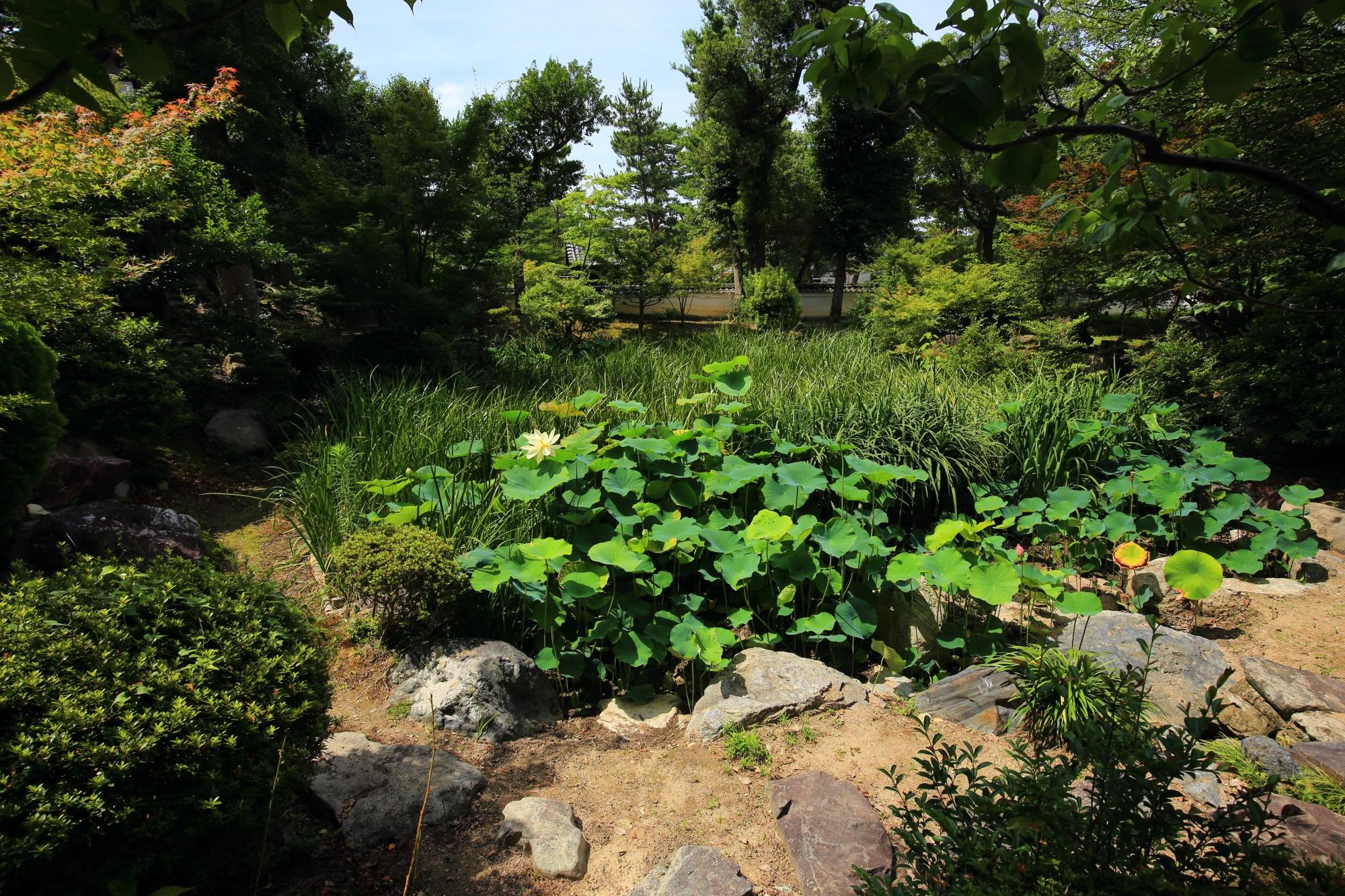 萬福寺の回廊沿いにある緑溢れる中和園の蓮