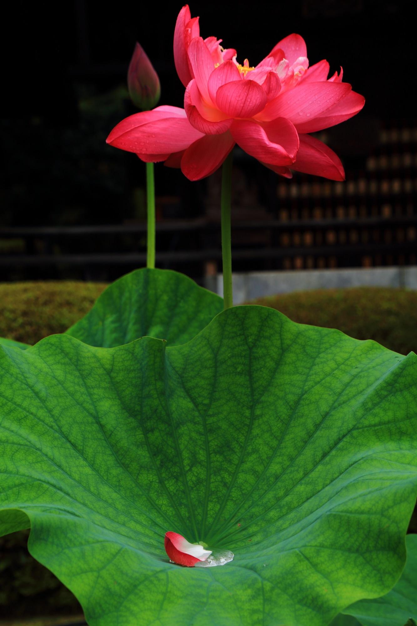 蓮の花の一生を表現しているような「蕾」「満開」「散り」