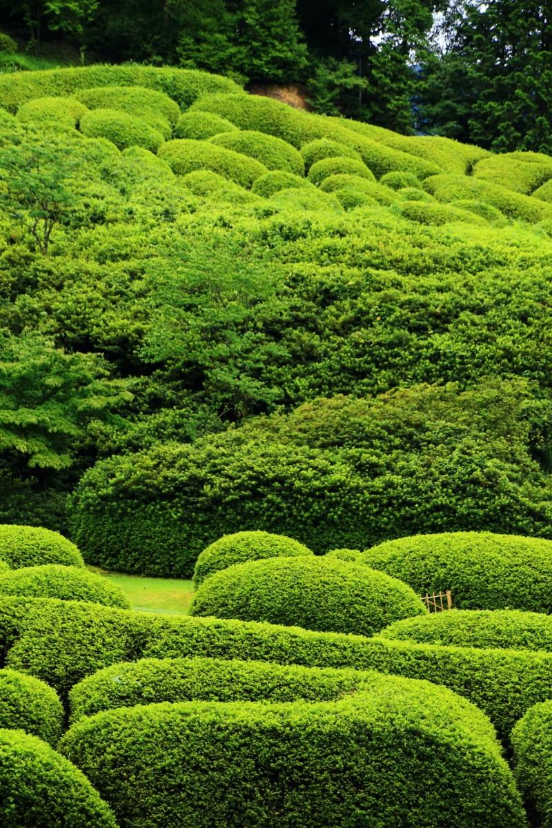 高画質 写真 ツツジ 新緑 三室戸寺