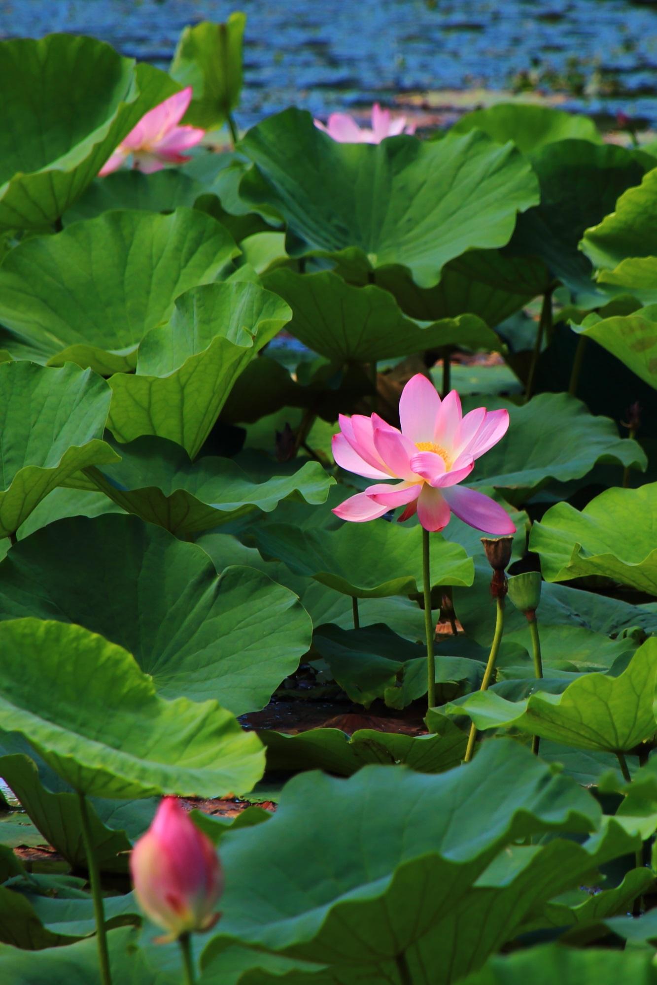 大覚寺の緑の中で淡く華やぐ美しいピンクの蓮の花