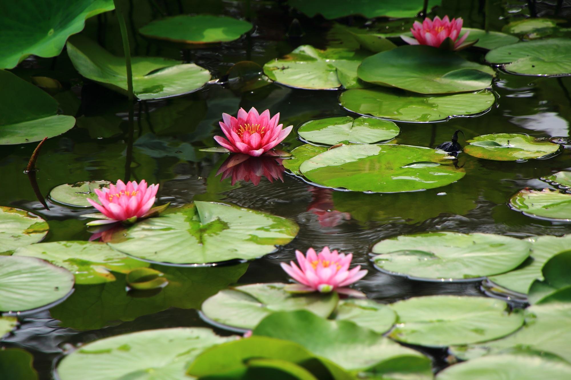 可憐な睡蓮に彩られる夏の勧修寺の氷室池の水面