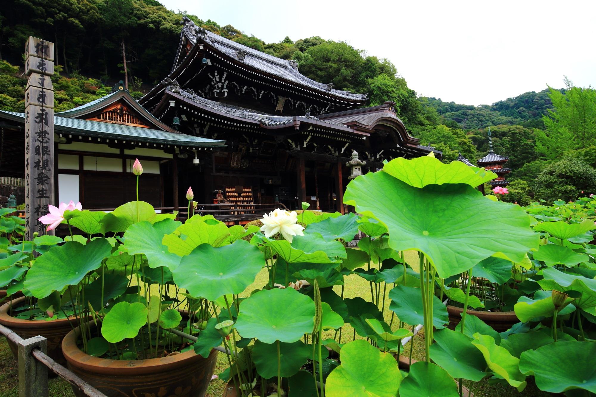 三室戸寺の本堂前を華やかな花とともに彩る緑の蓮の葉