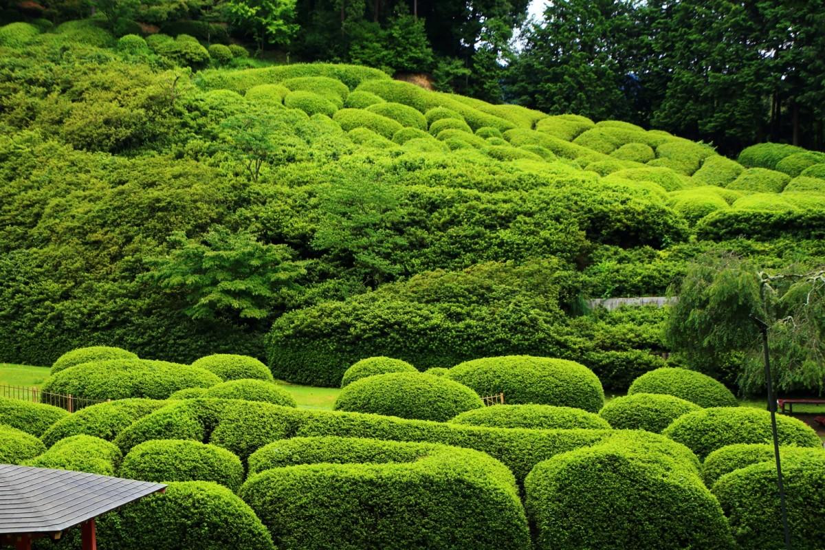 淡い緑が最高の彩りの三室戸寺のつつじ園の新緑のツツジ