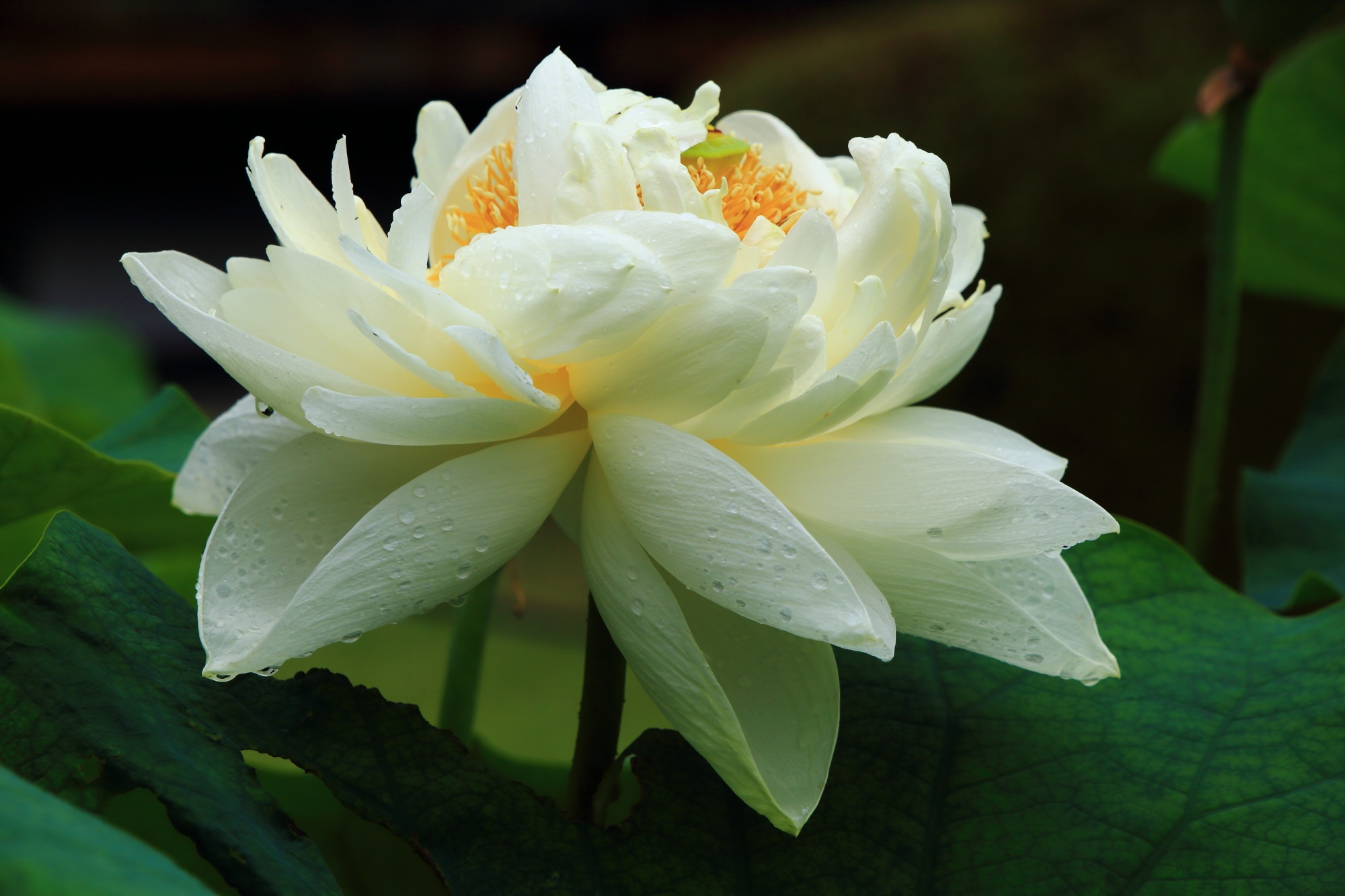 真っ白な花びらをいっぱいにつけた雨で潤う豪快な蓮の花