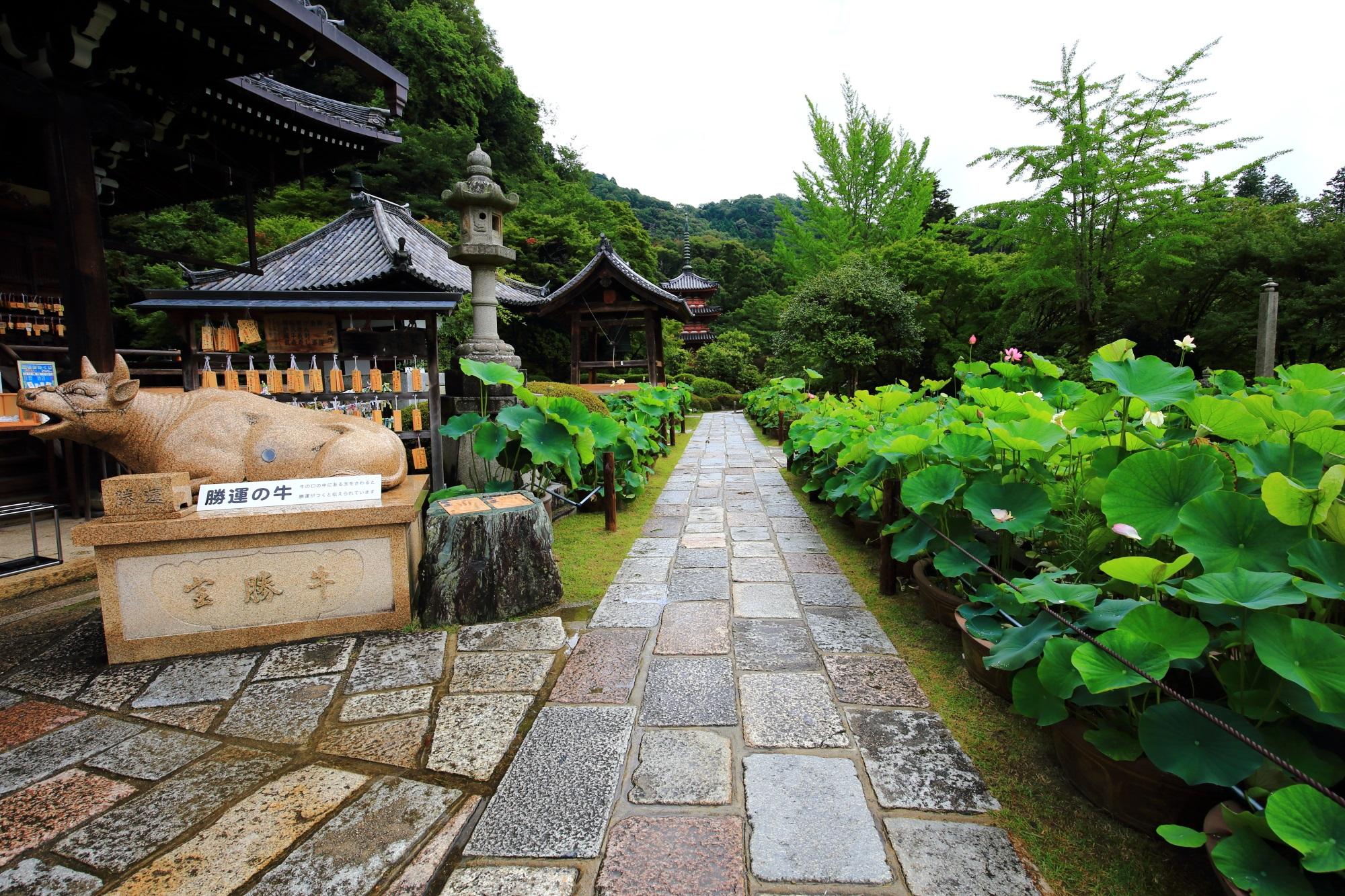 三室戸寺の本堂前のたくさんの蓮鉢に咲く蓮の花