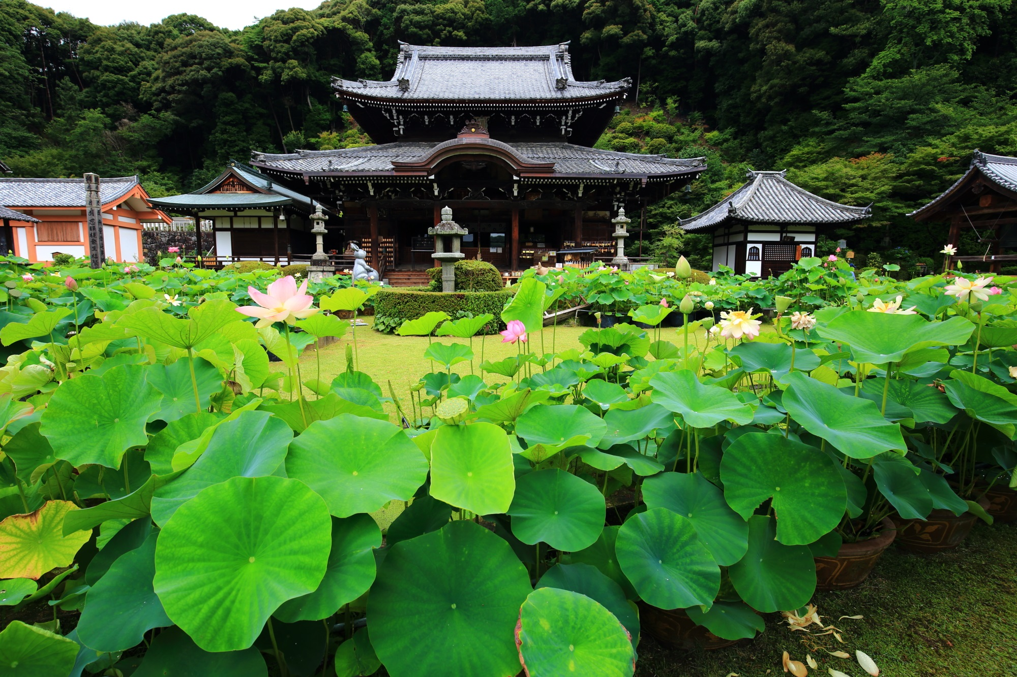 三室戸寺の本堂と見ごろをむかえた本堂前の蓮(はす)
