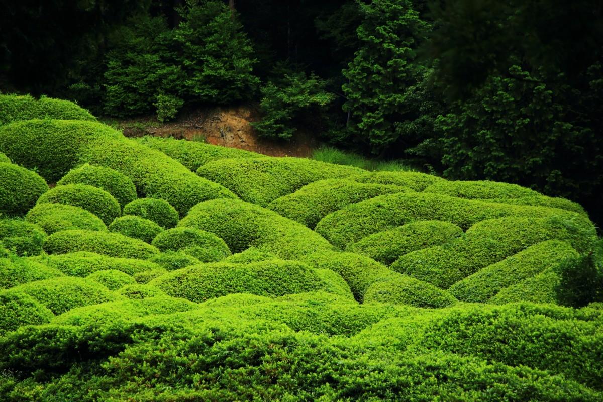 波打つように綺麗な曲線を描いているつつじ園の緑のツツジ