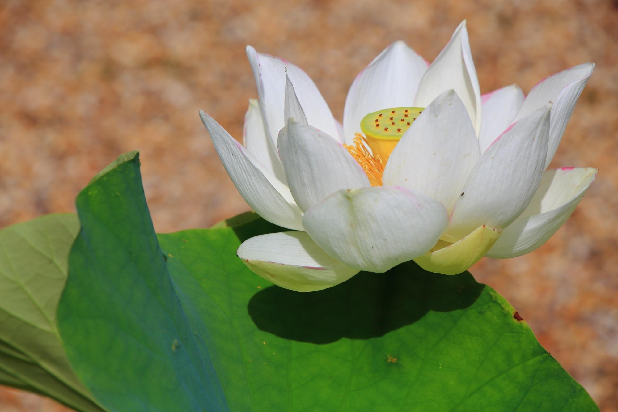 夏には多種多様な蓮の花につつまれる京都宇治の蓮の名所の萬福寺は(まんぷくじ)