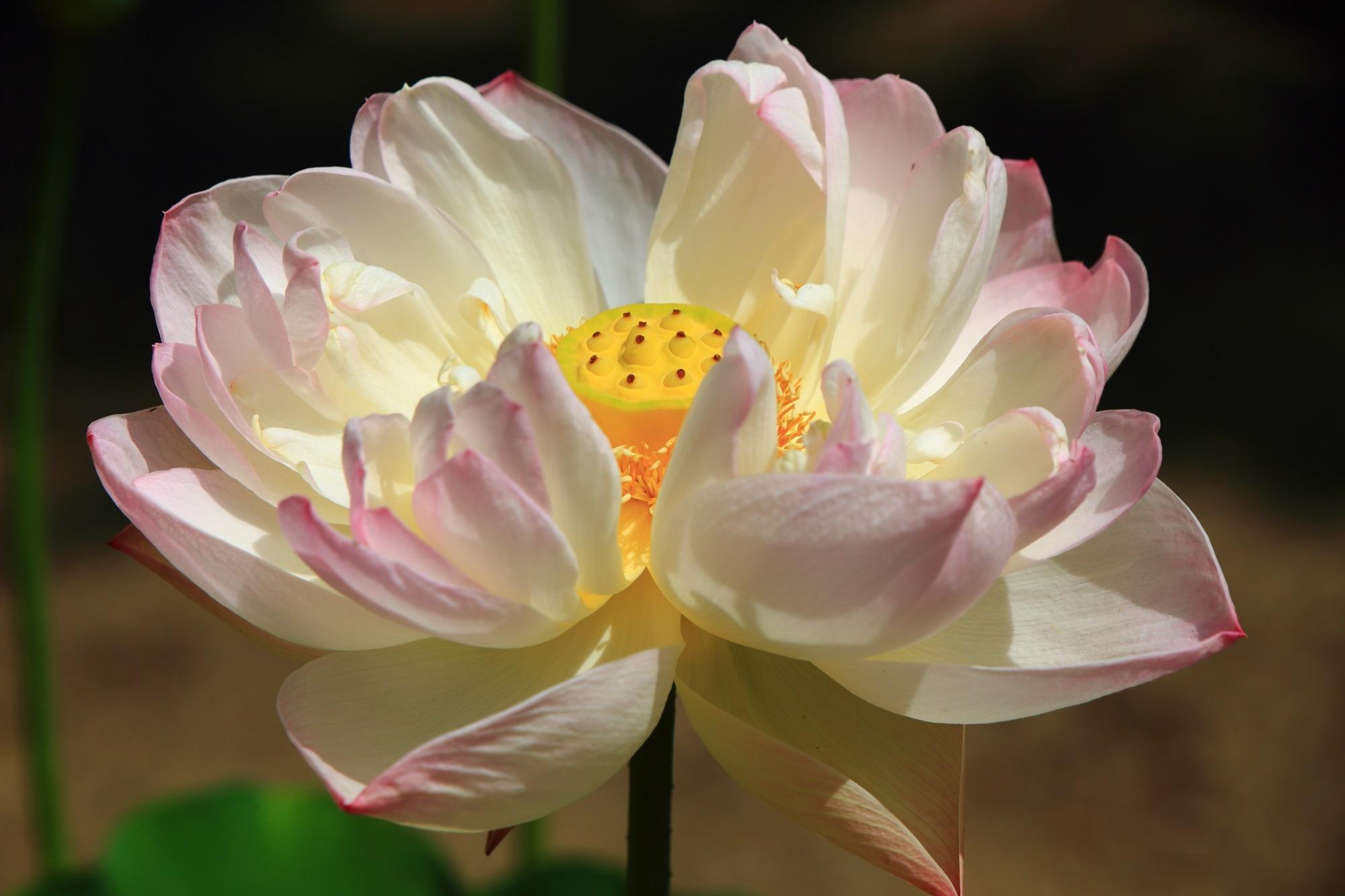 黄檗山萬福寺の天王殿前の華やかに咲き誇る煌びやかな蓮の花