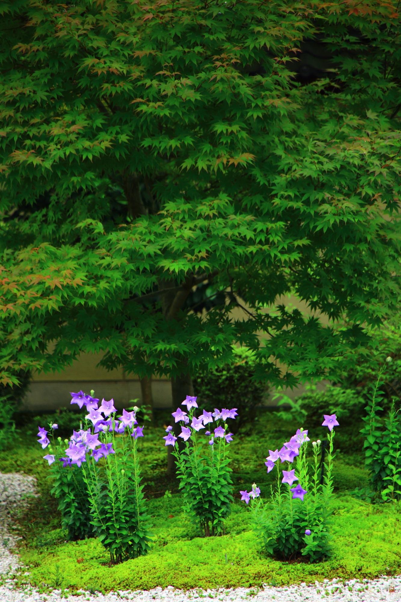 廬山寺の圧巻の青もみじとその下で華やぐ桔梗の花