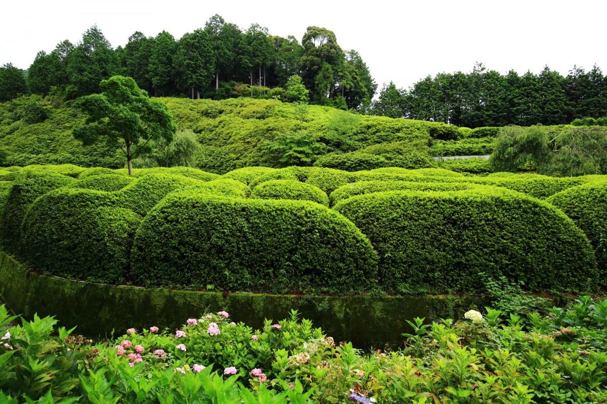 圧倒的な緑に覆われる三室戸寺のつつじ園
