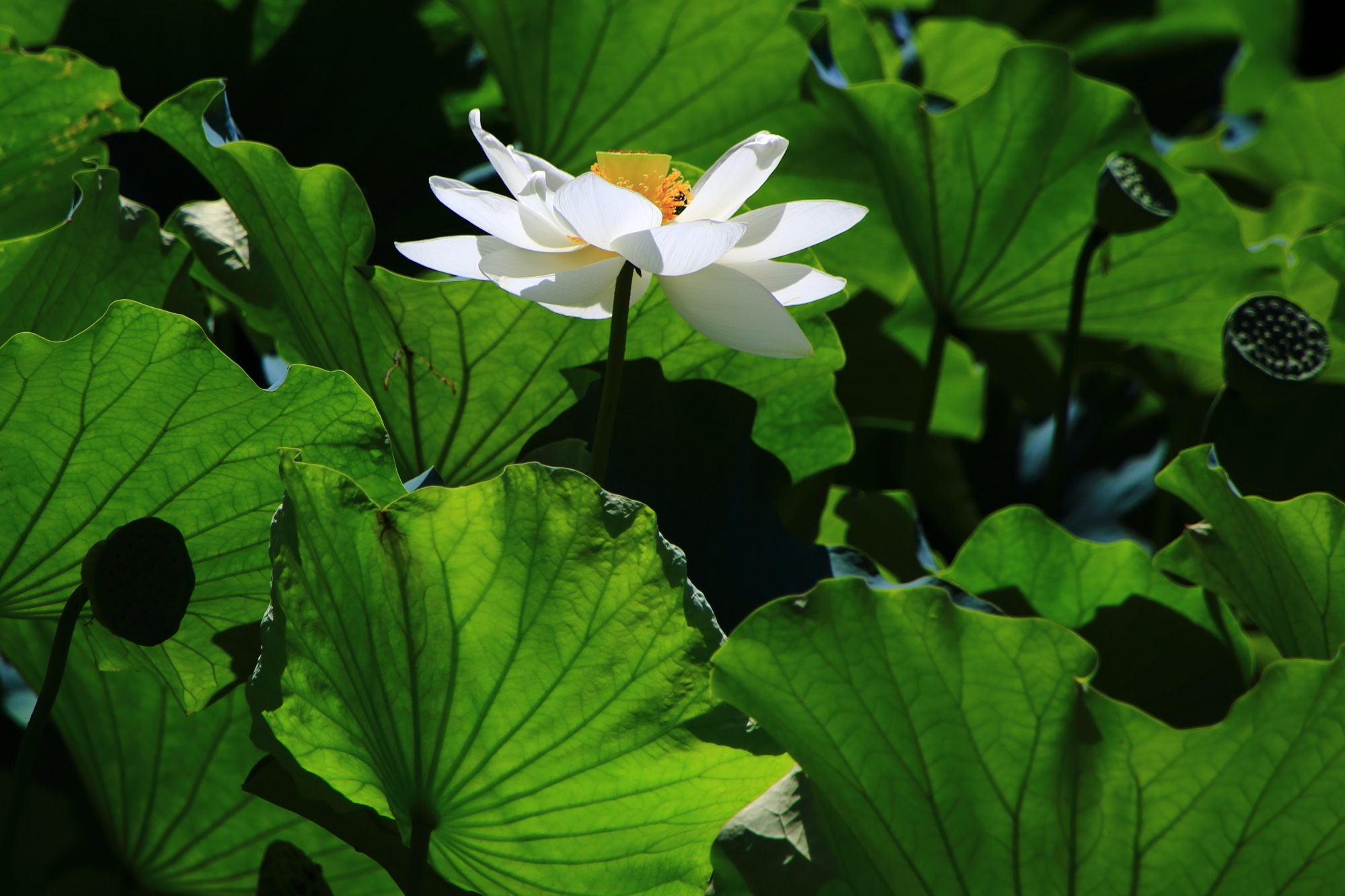 Kyoto Osawa-no-ike Pond lotus 大覚寺 大沢池 はす