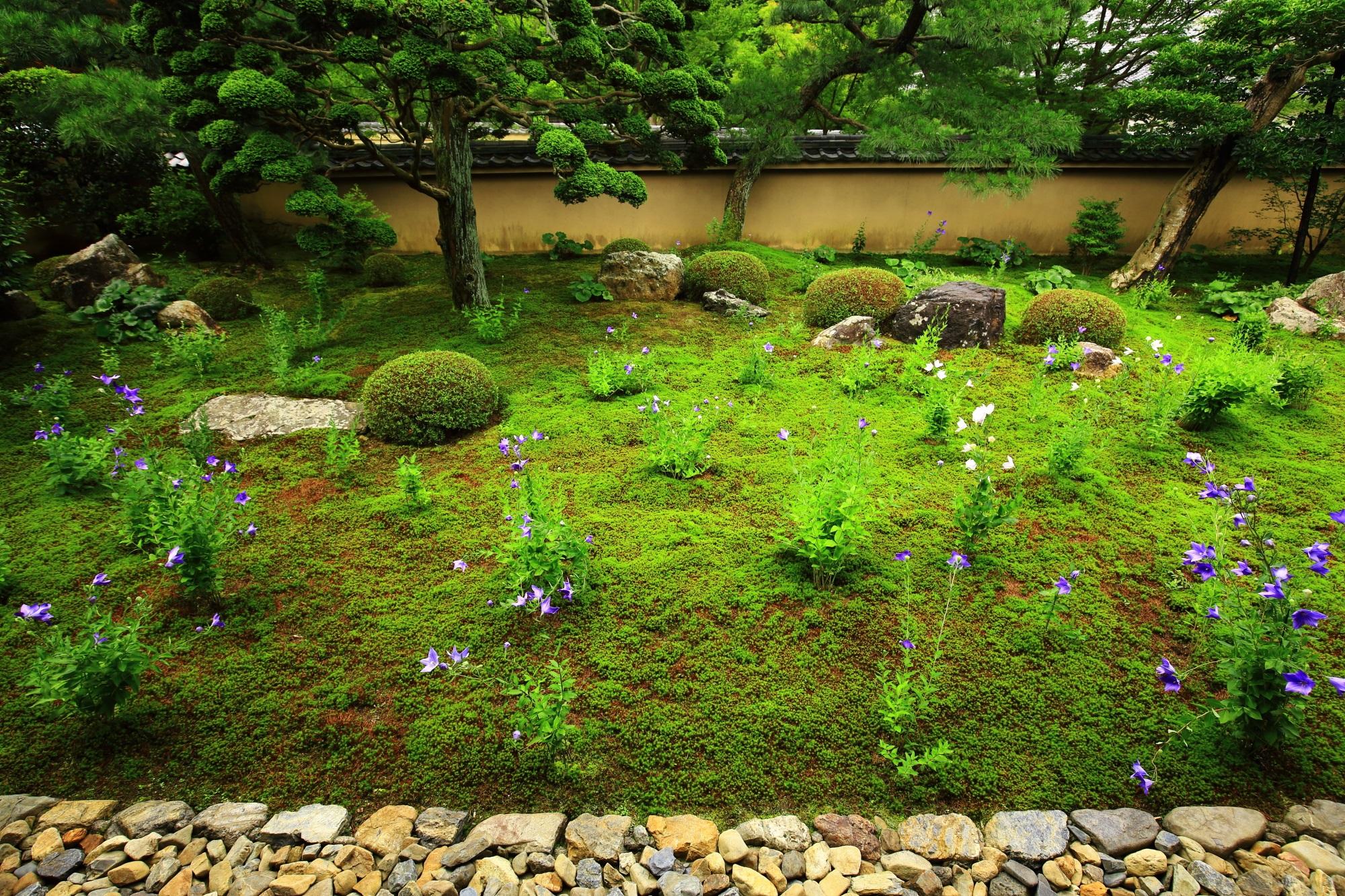 美しい緑と桔梗の花につつまれる初夏の天得院
