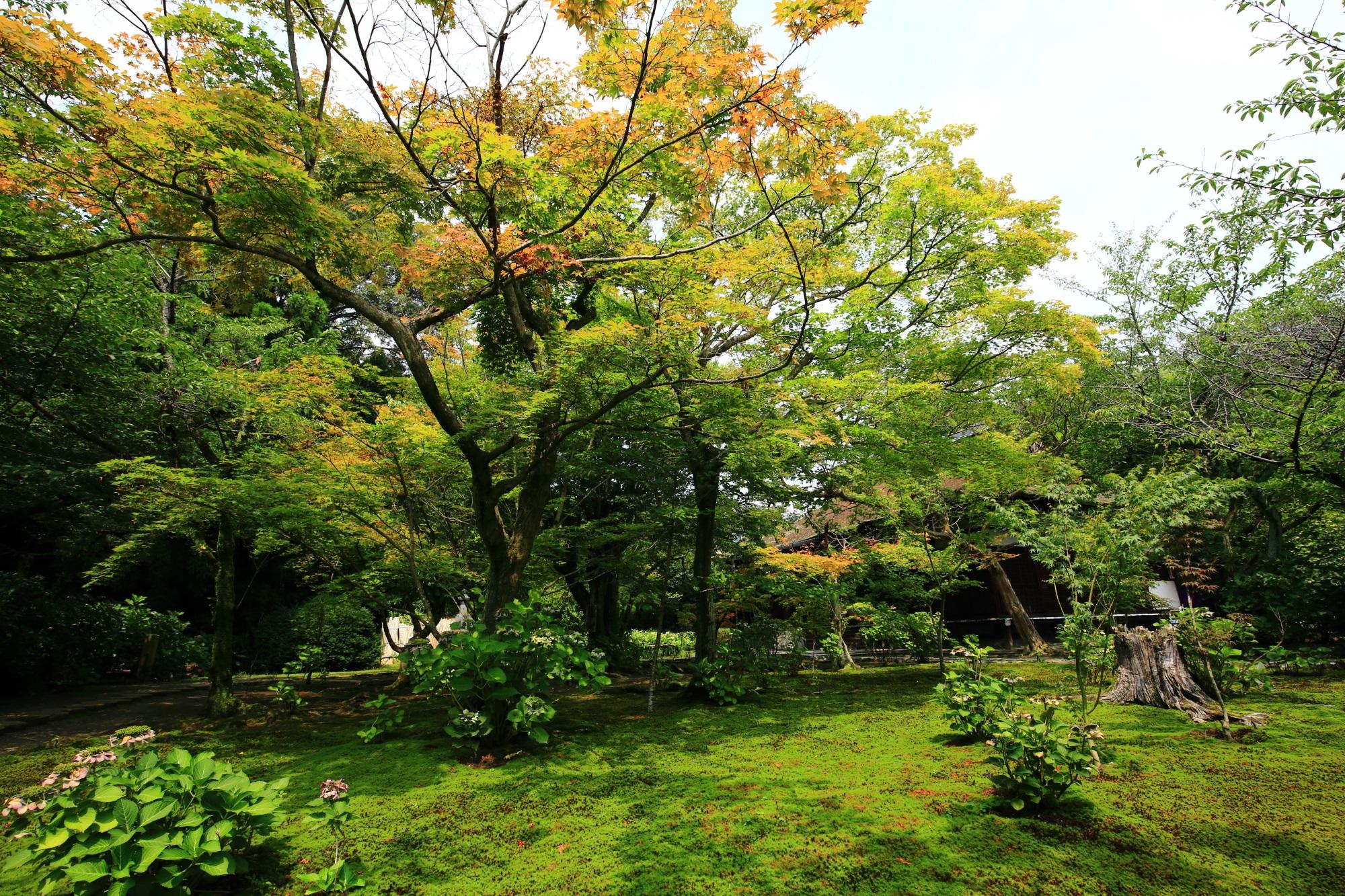 勧修寺に広がる青もみじと苔の圧倒的な緑