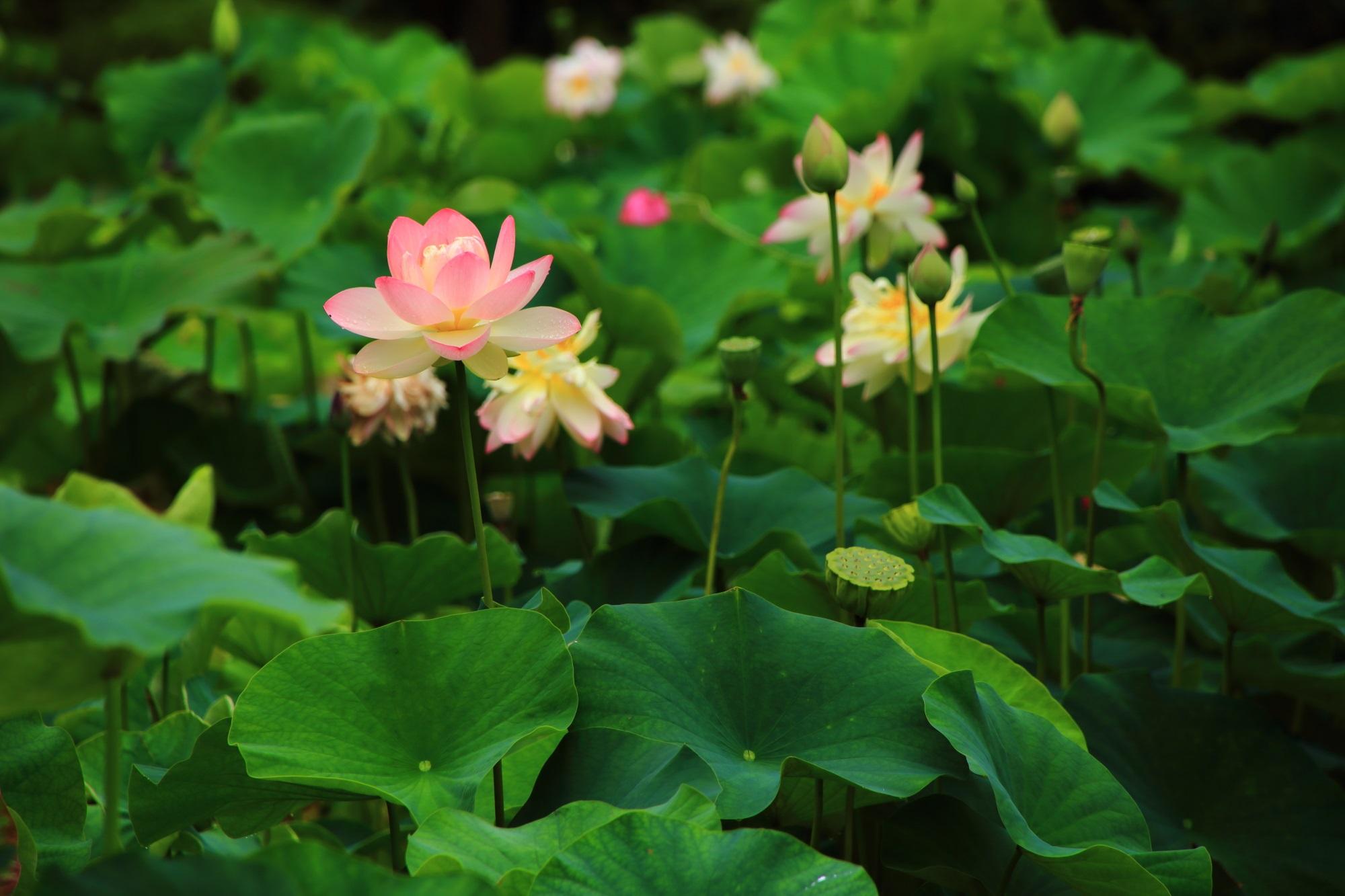 緑の上で華やぐ三室戸寺の多様な蓮の花