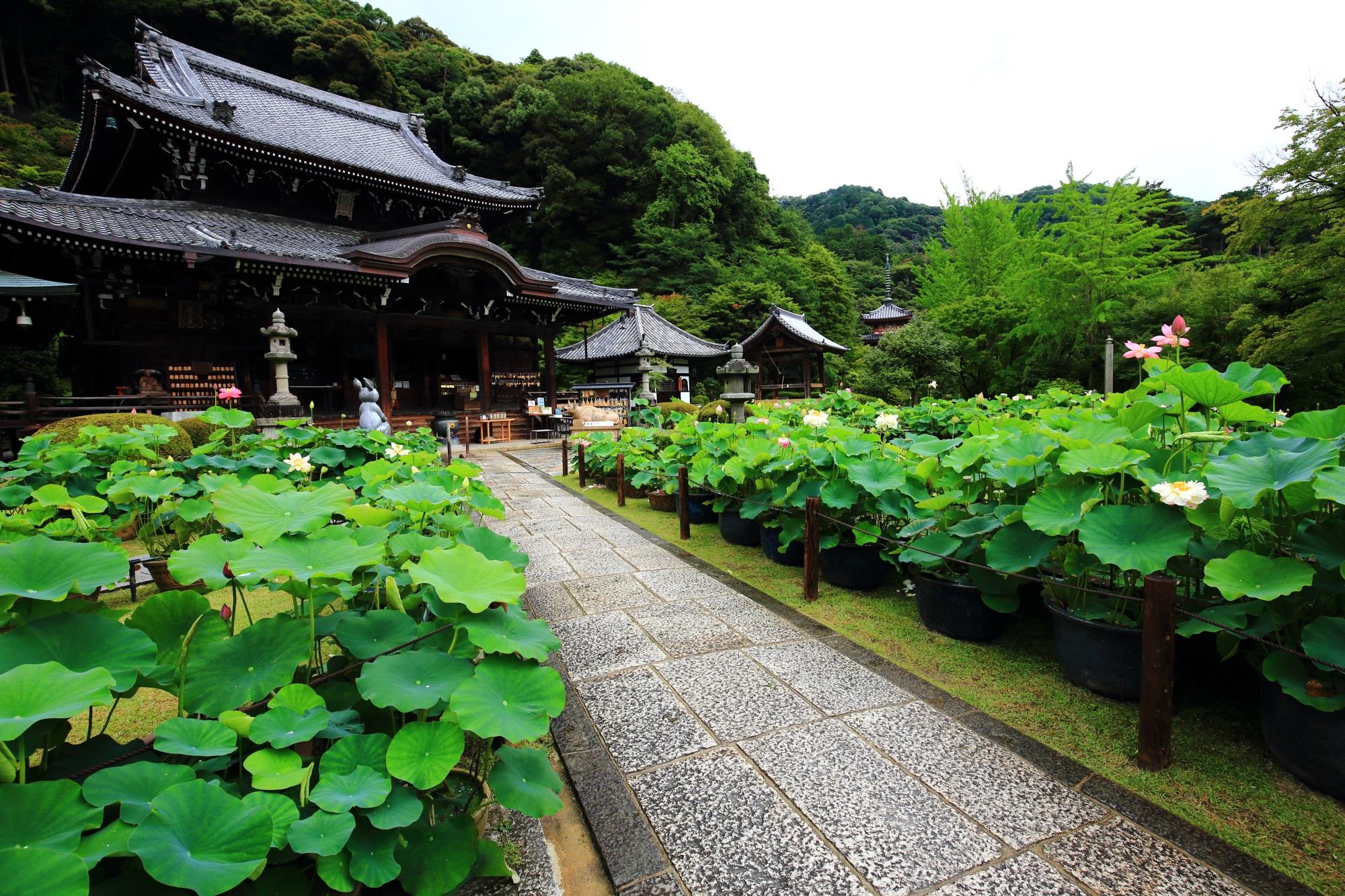 京都宇治の蓮の名所の三室戸寺